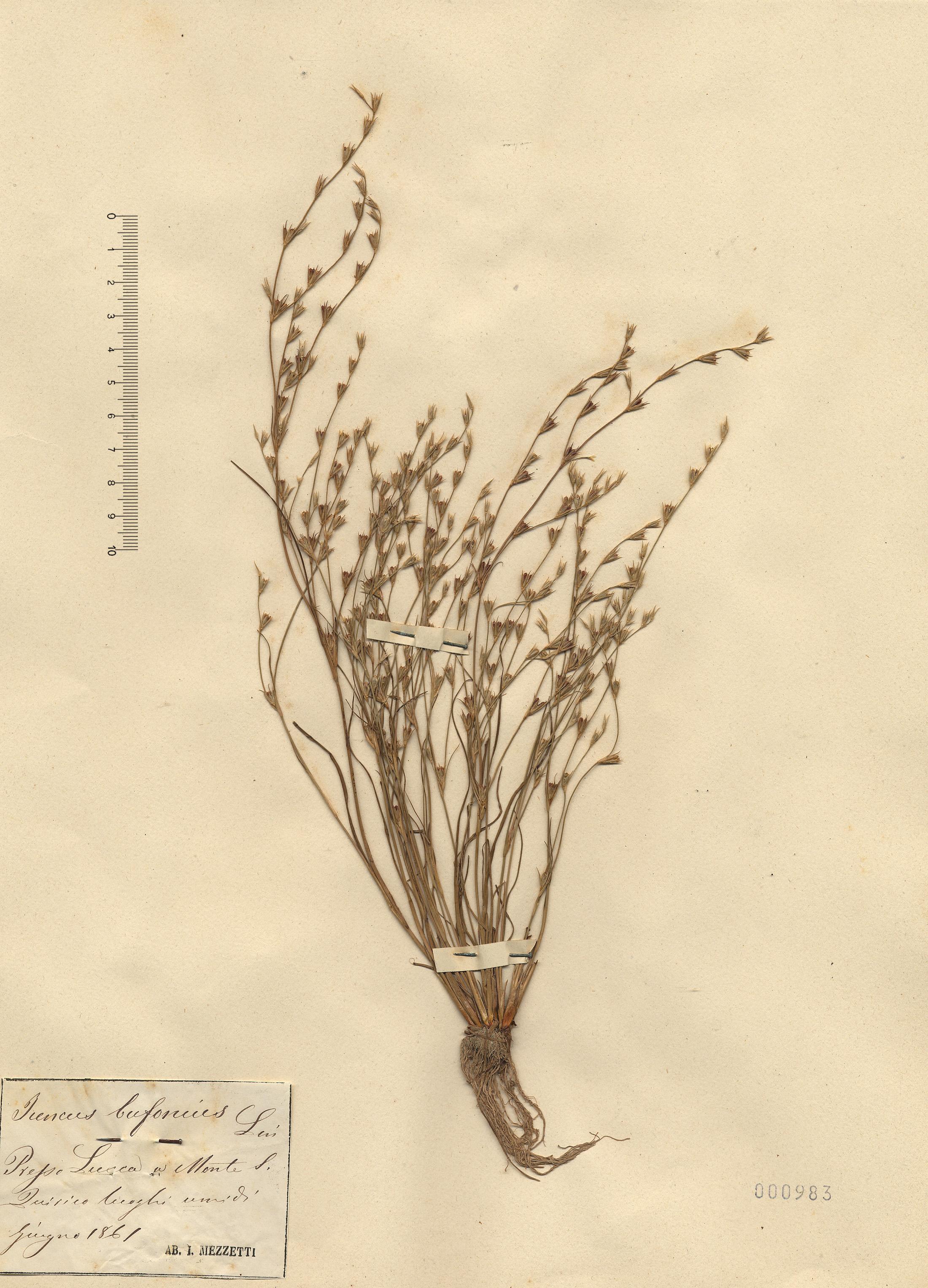 © Hortus Botanicus Catinensis - Herb. sheet 000983<br>