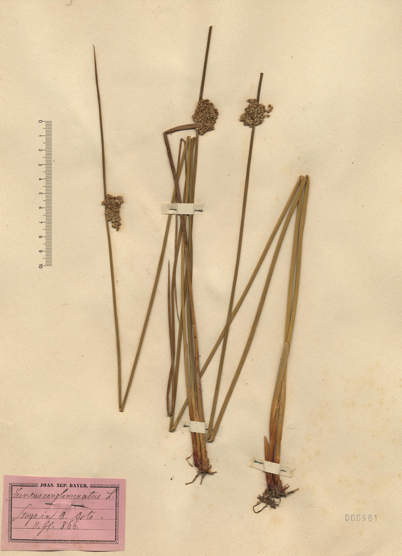 © Hortus Botanicus Catinensis - Herb. sheet 000981<br>