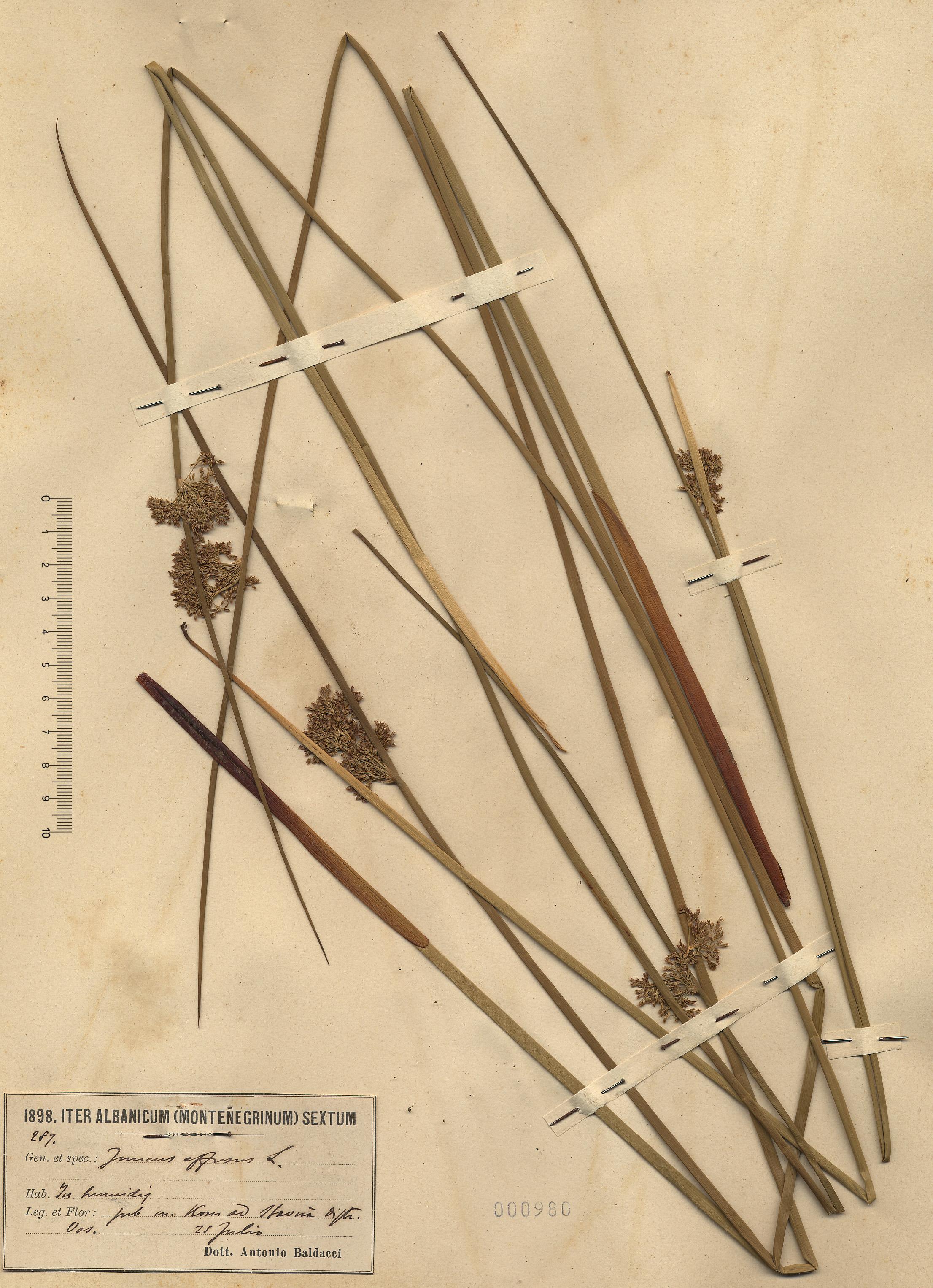© Hortus Botanicus Catinensis - Herb. sheet 000980<br>
