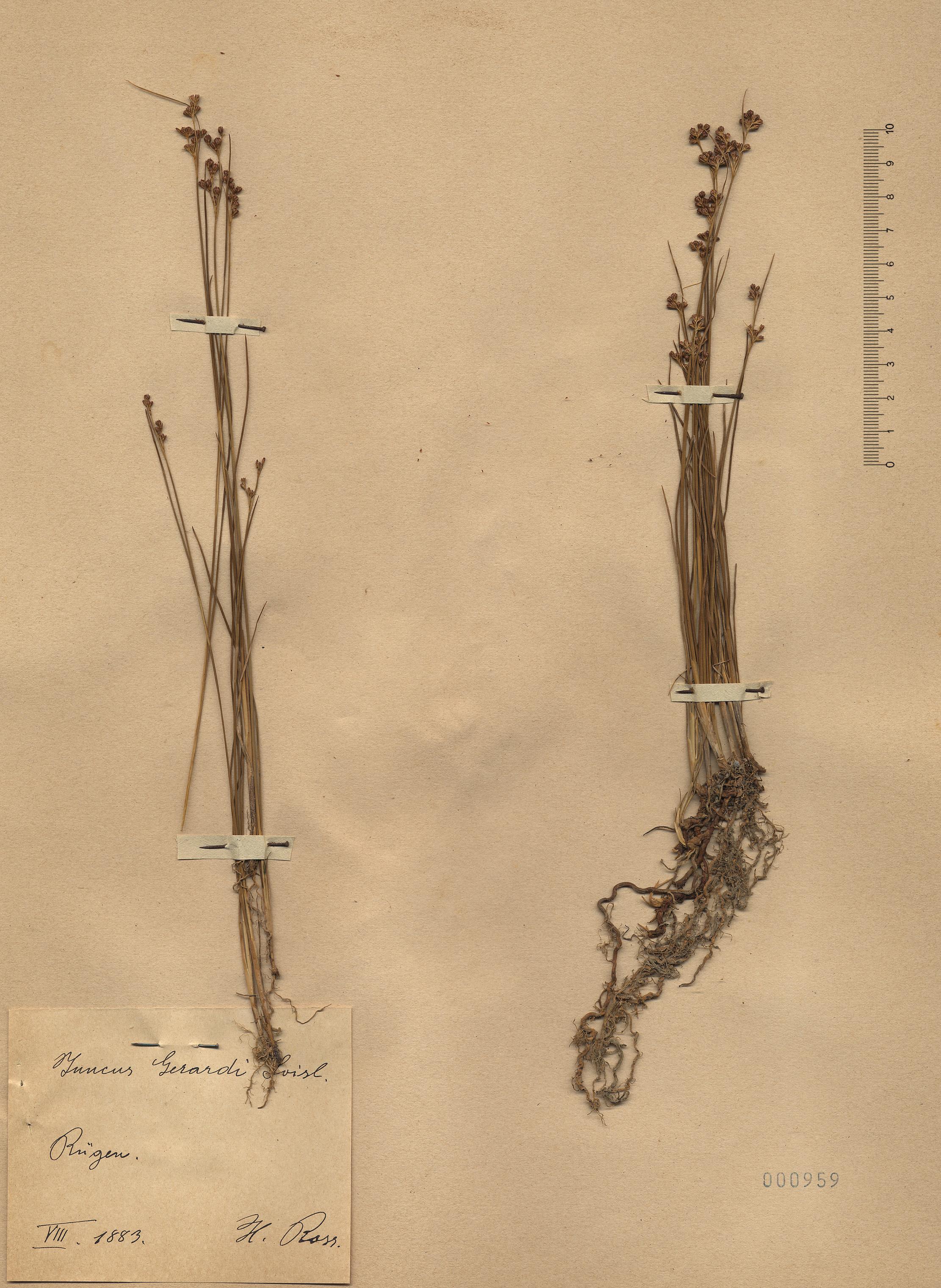 © Hortus Botanicus Catinensis - Herb. sheet 000959<br>