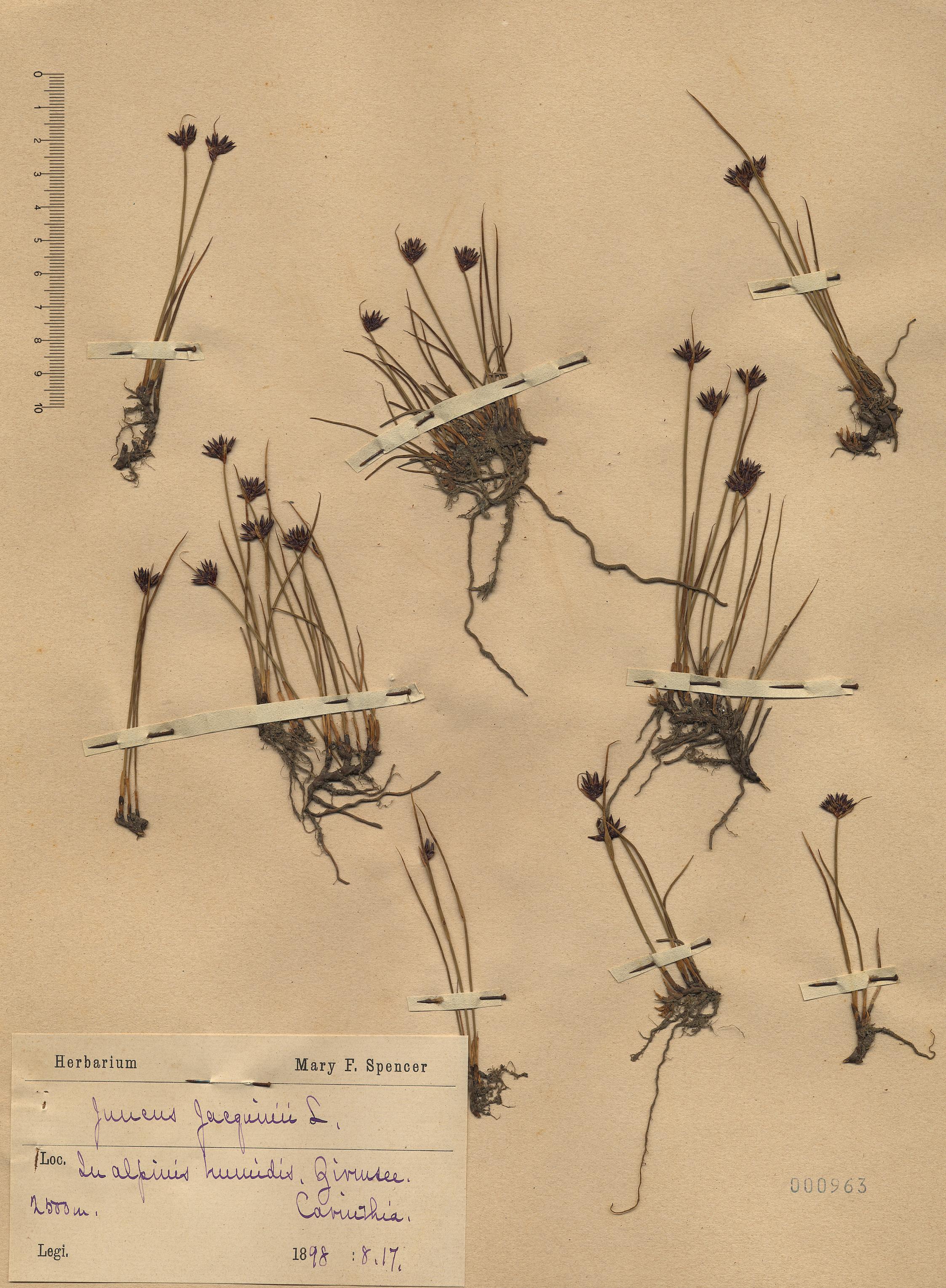 © Hortus Botanicus Catinensis - Herb. sheet 000963<br>