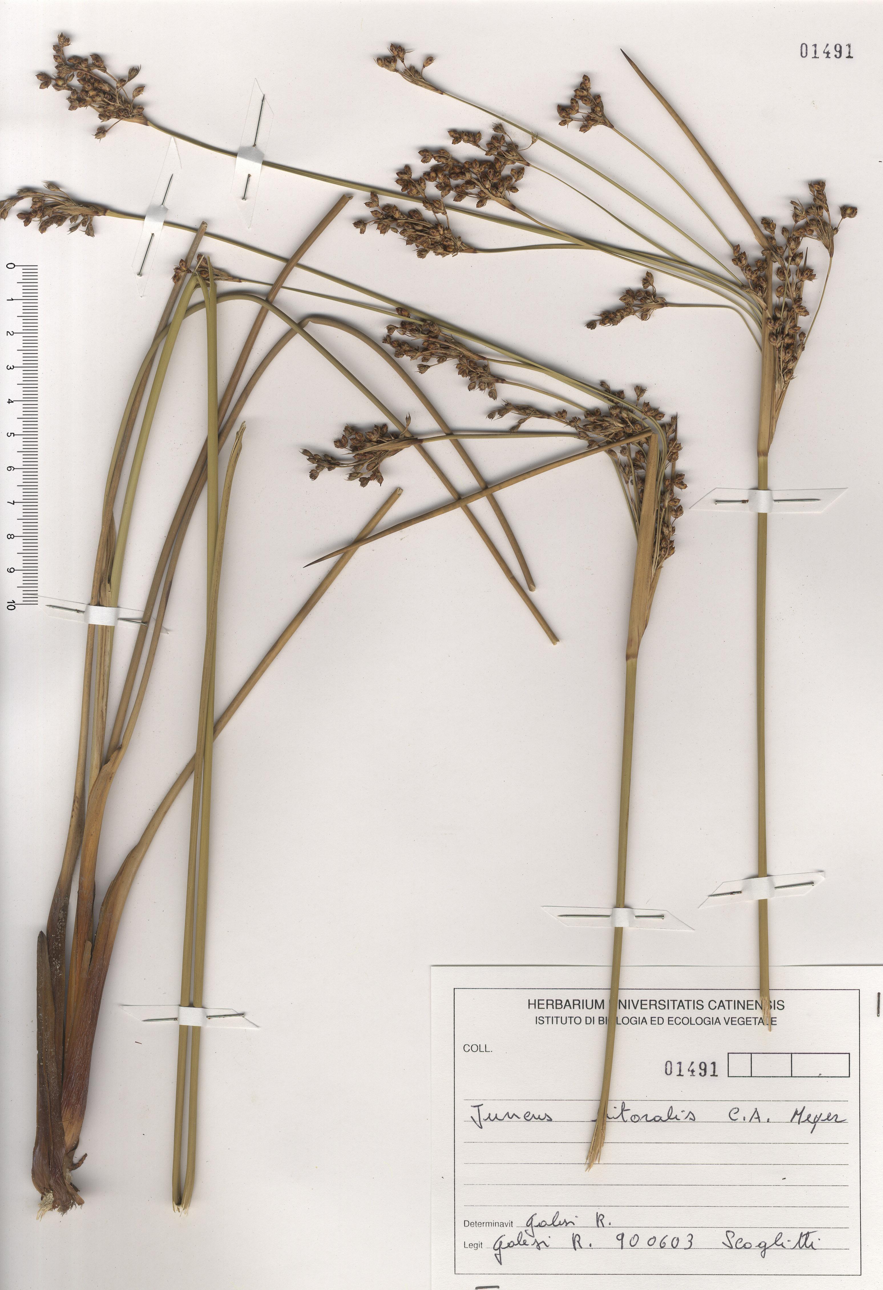 © Hortus Botanicus Catinensis - Herb. sheet 101491<br>