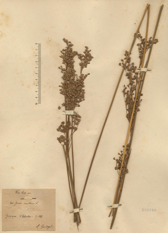 © Hortus Botanicus Catinensis - Herb. sheet 000986<br>