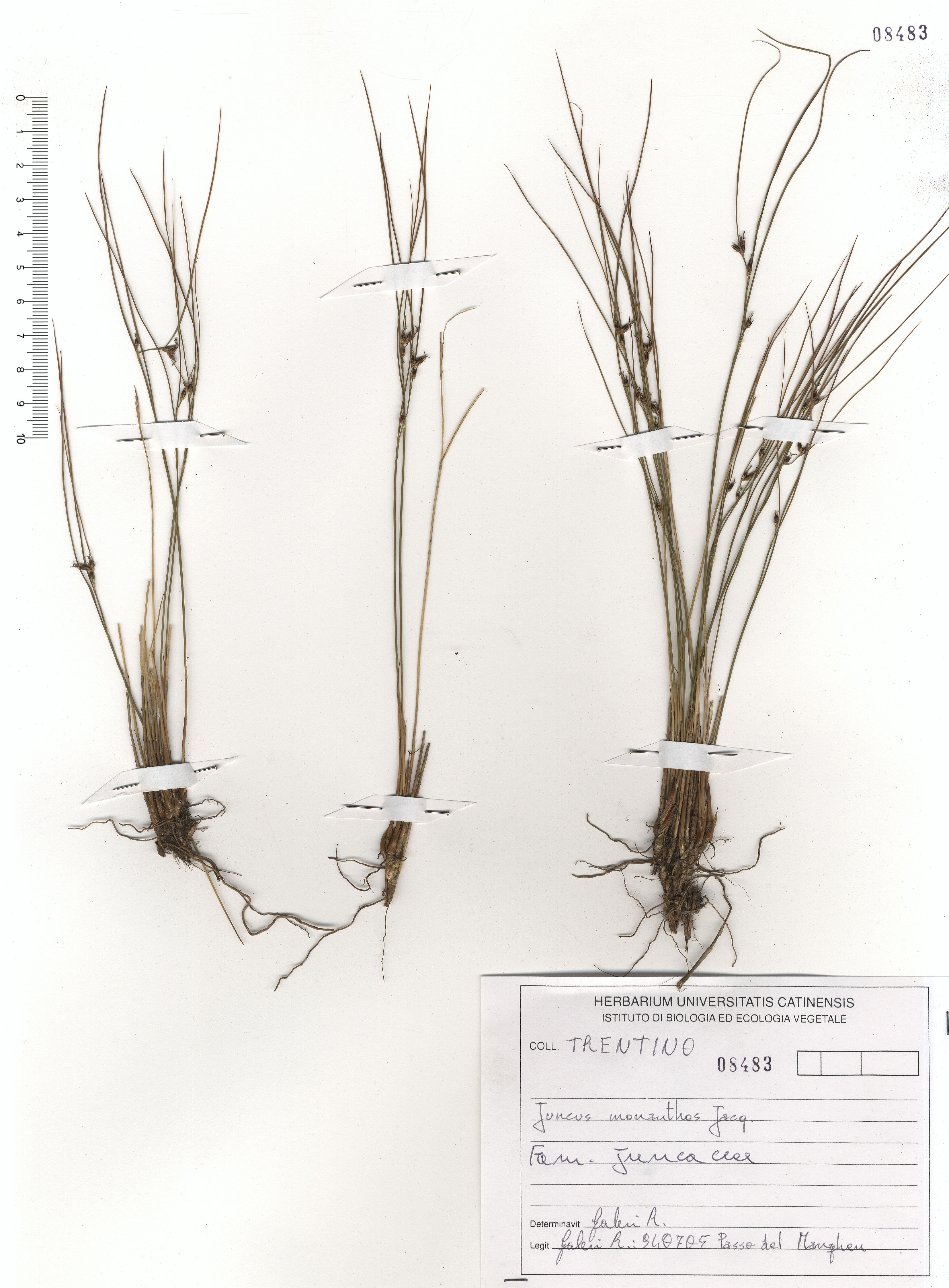 © Hortus Botanicus Catinensis - Herb. sheet 108483<br>