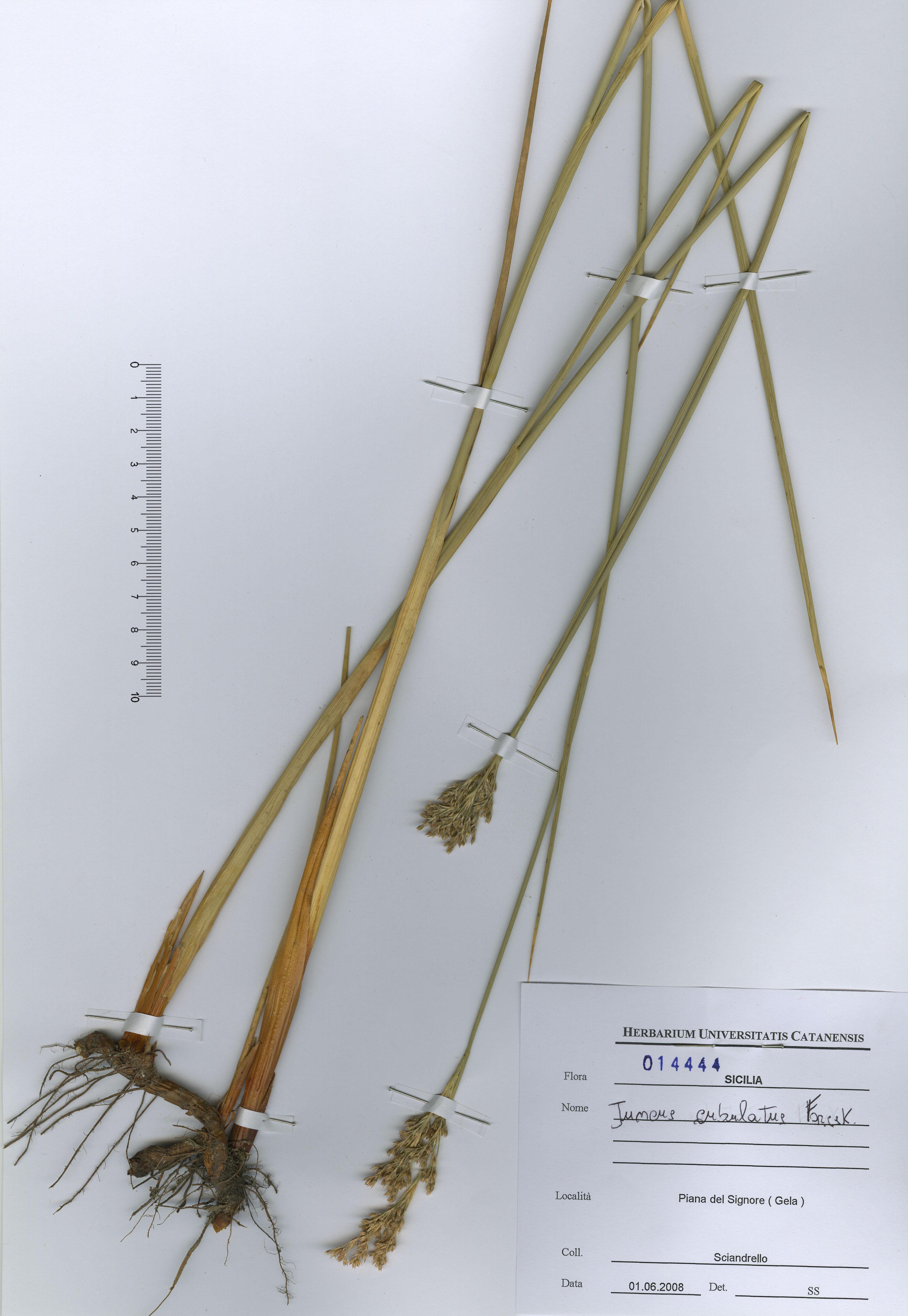 © Hortus Botanicus Catinensis - Herb. sheet 014444<br>