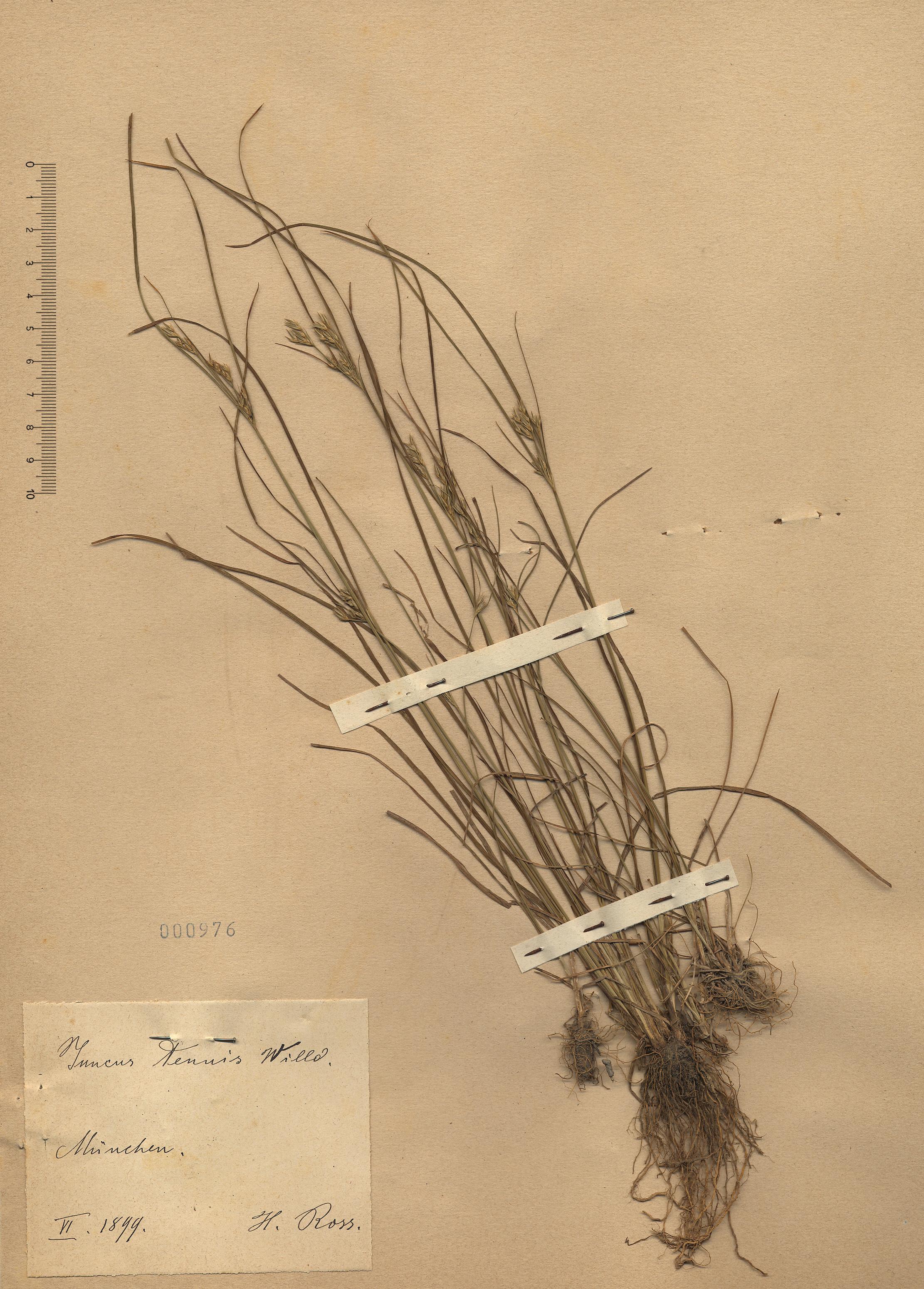 © Hortus Botanicus Catinensis - Herb. sheet 000976<br>