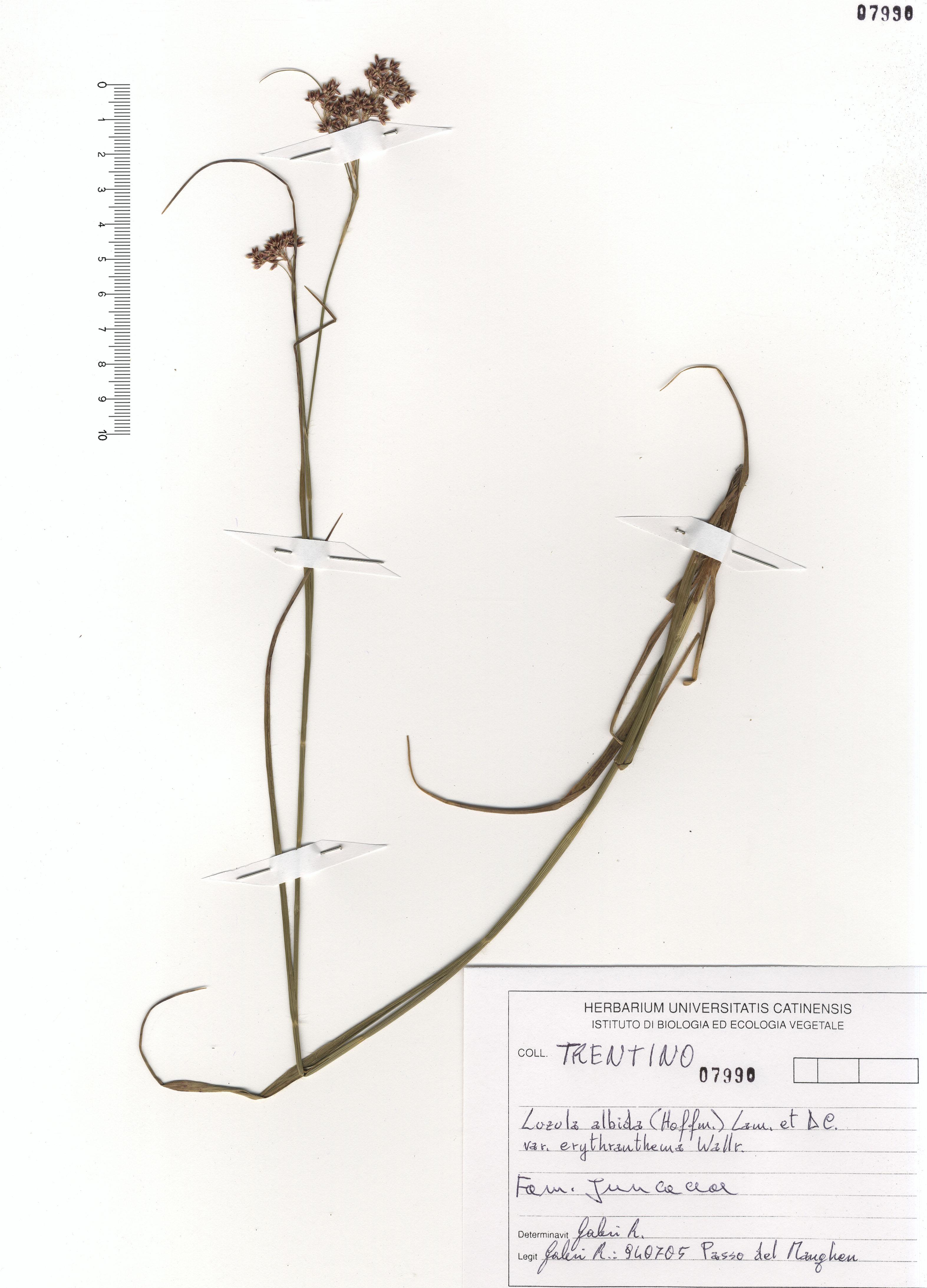 © Hortus Botanicus Catinensis - Herb. sheet 107990<br>