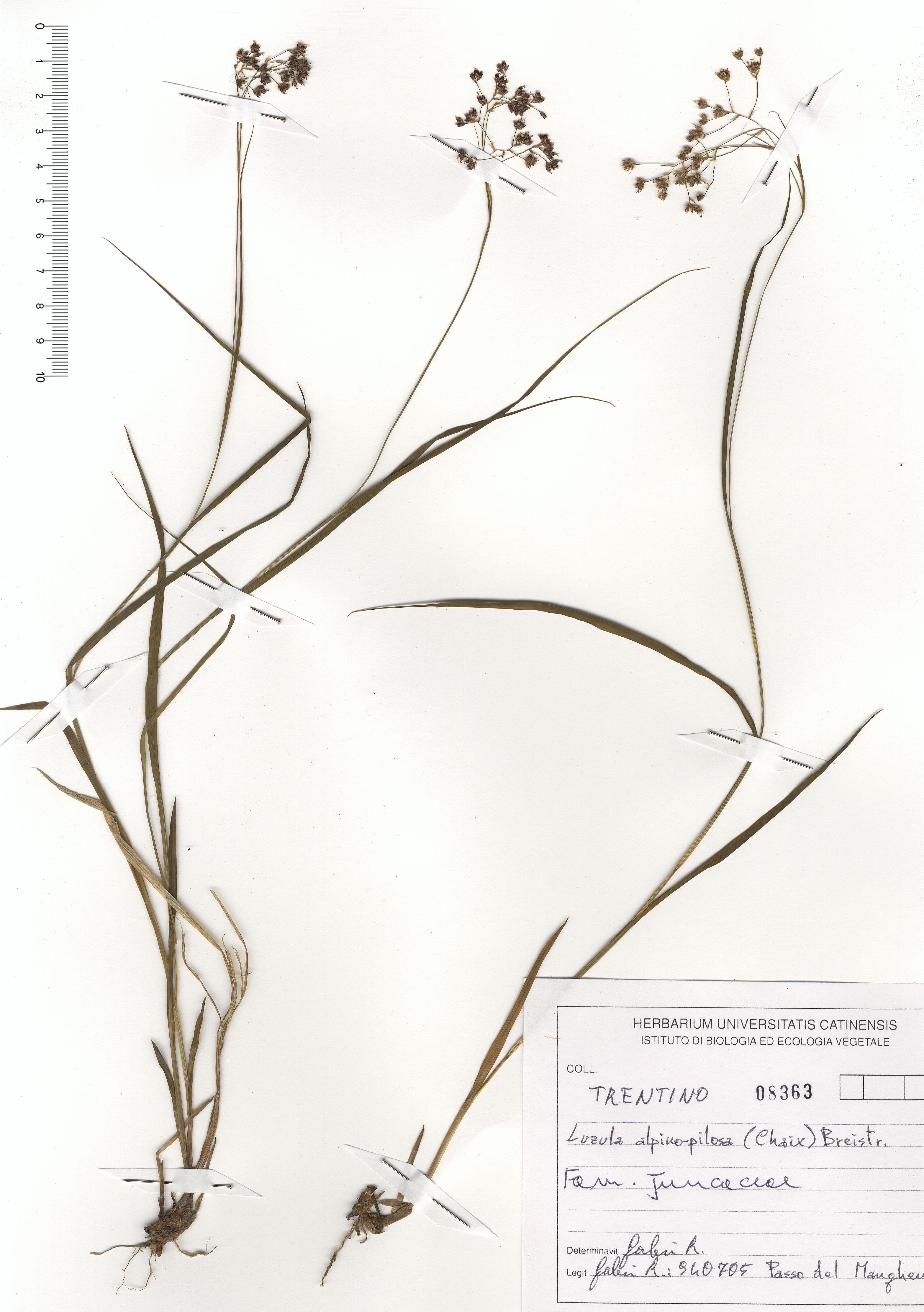 © Hortus Botanicus Catinensis - Herb. sheet 108363<br>