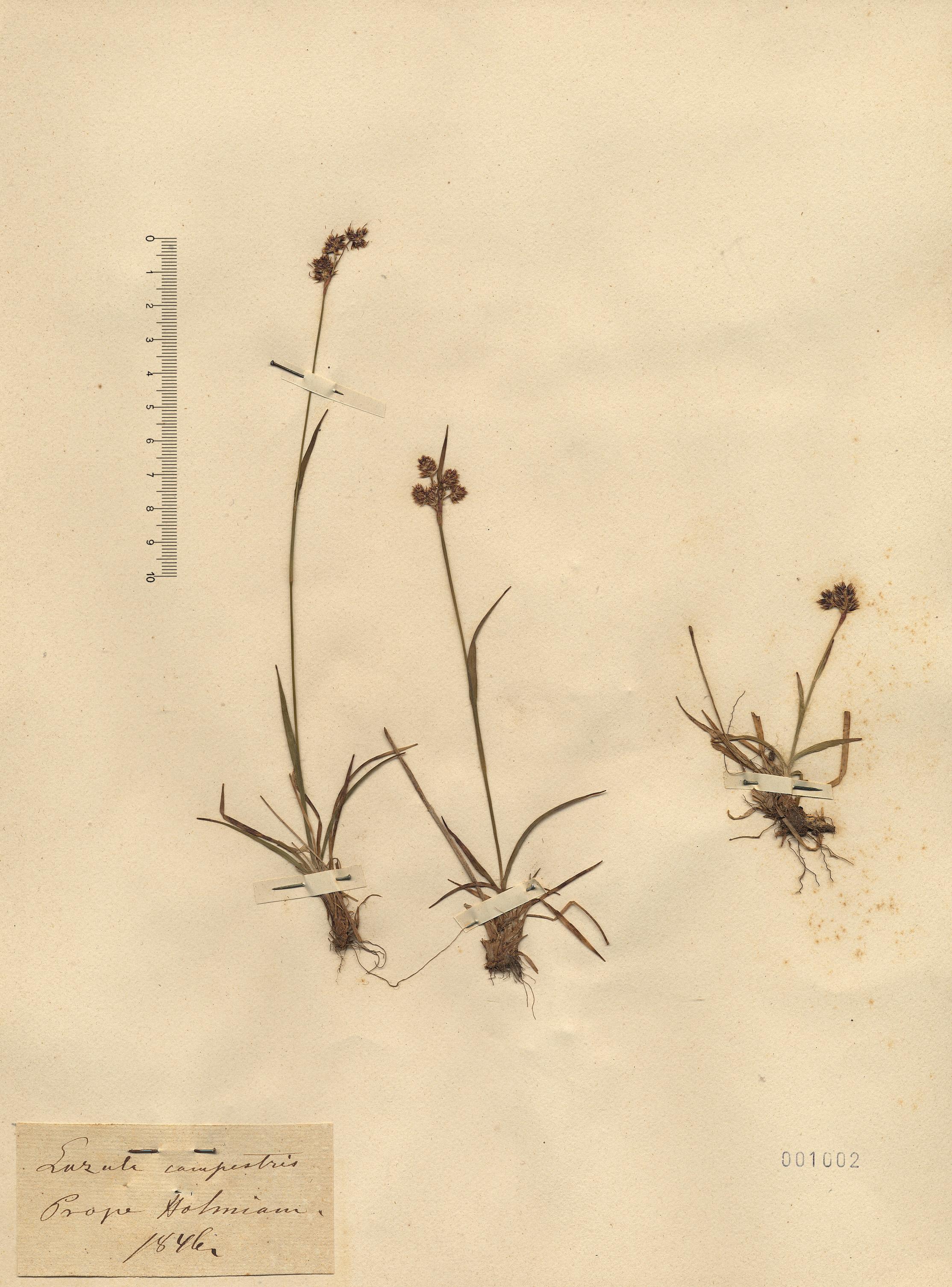 © Hortus Botanicus Catinensis - Herb. sheet 001002<br>