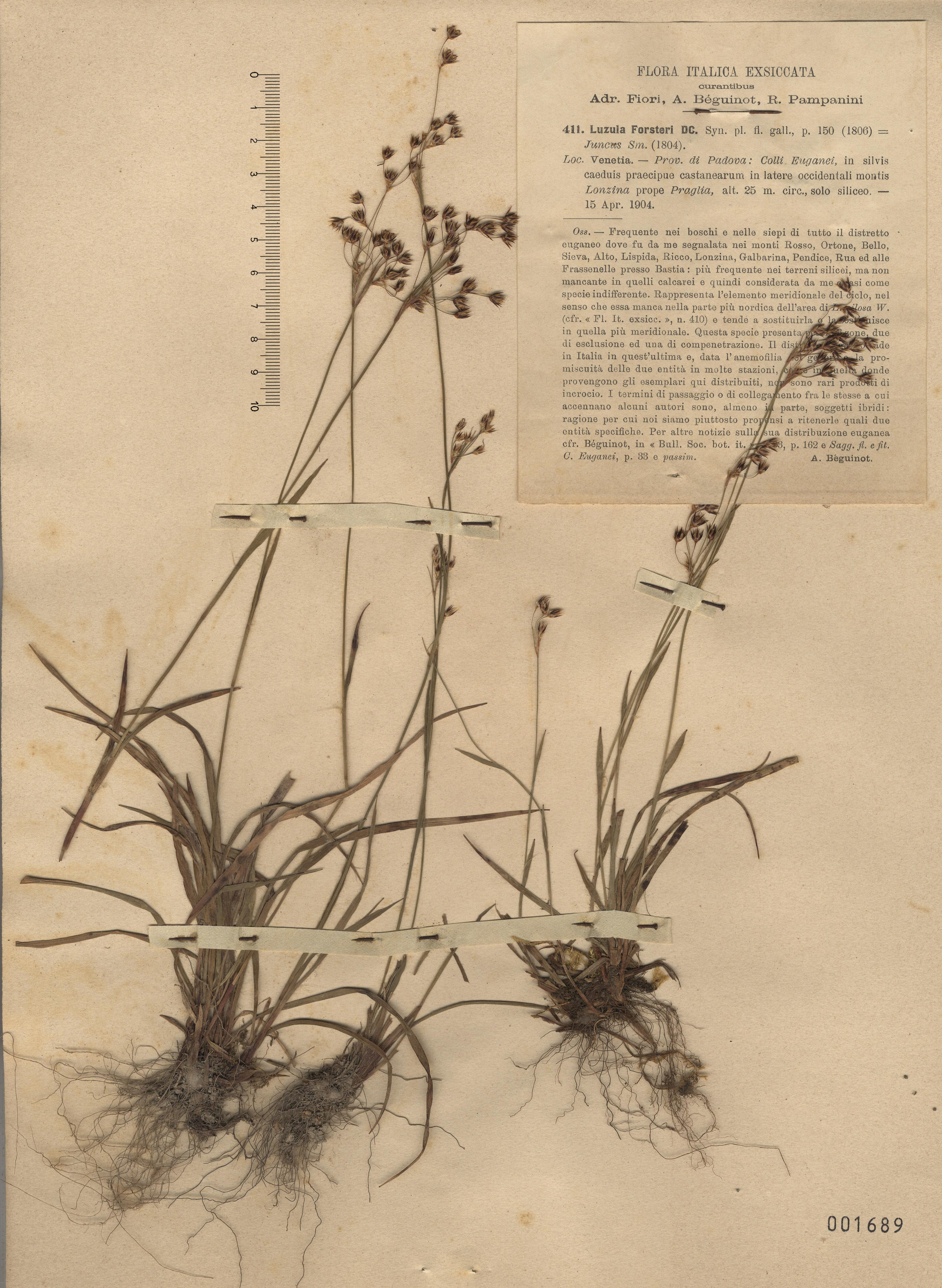 © Hortus Botanicus Catinensis - Herb. sheet 001689<br>