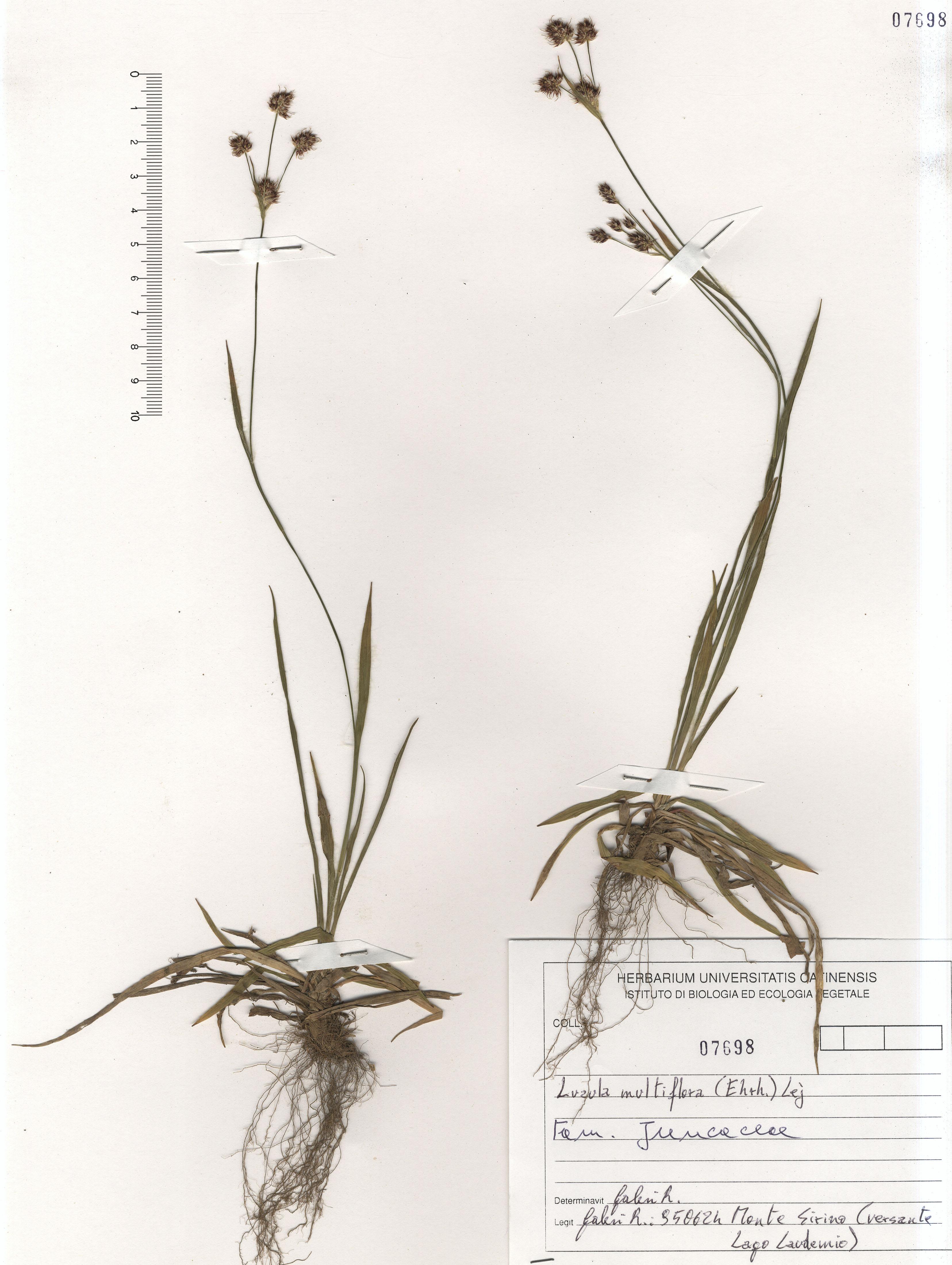 © Hortus Botanicus Catinensis - Herb. sheet 107698<br>