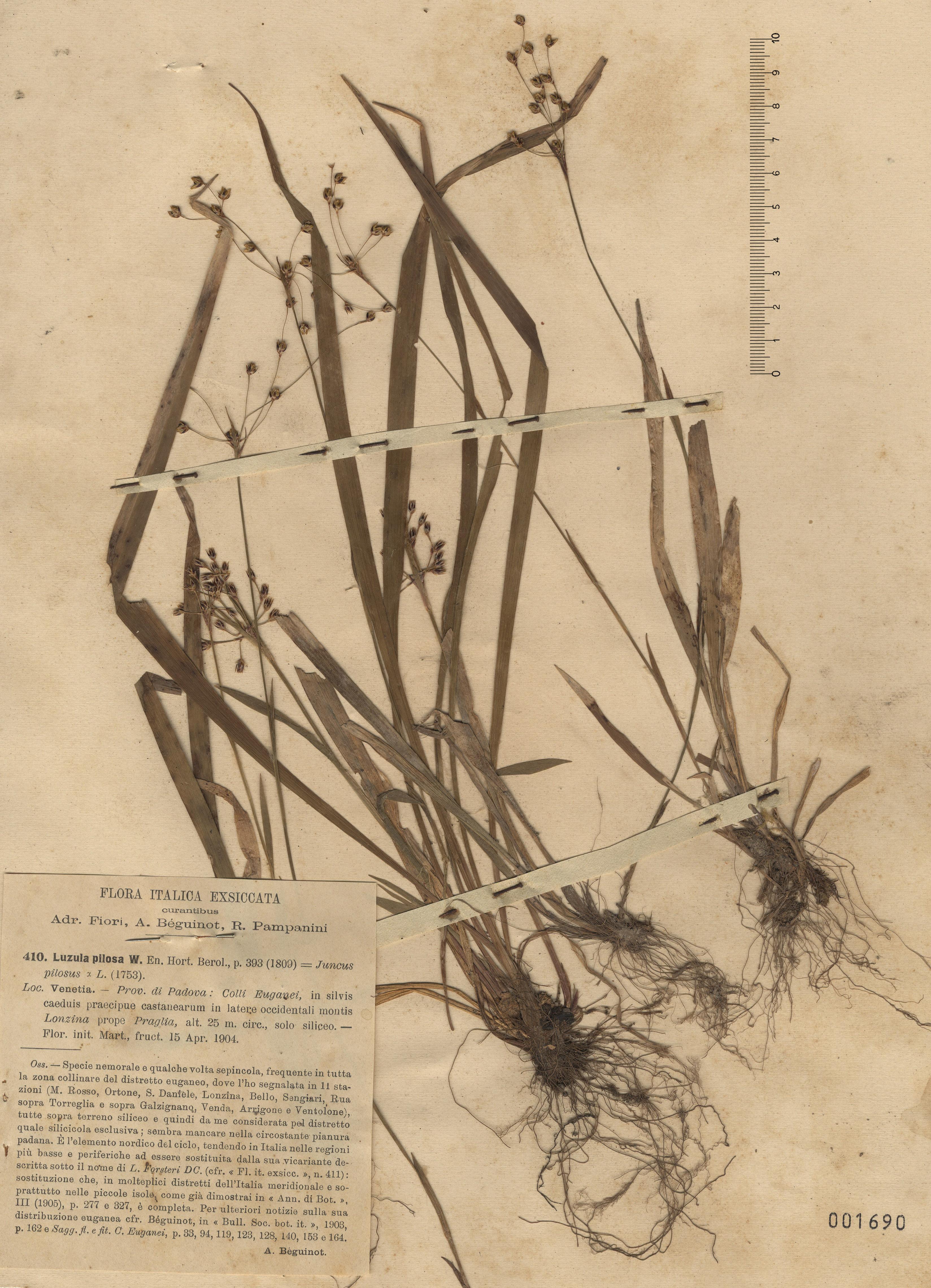 © Hortus Botanicus Catinensis - Herb. sheet 001690<br>