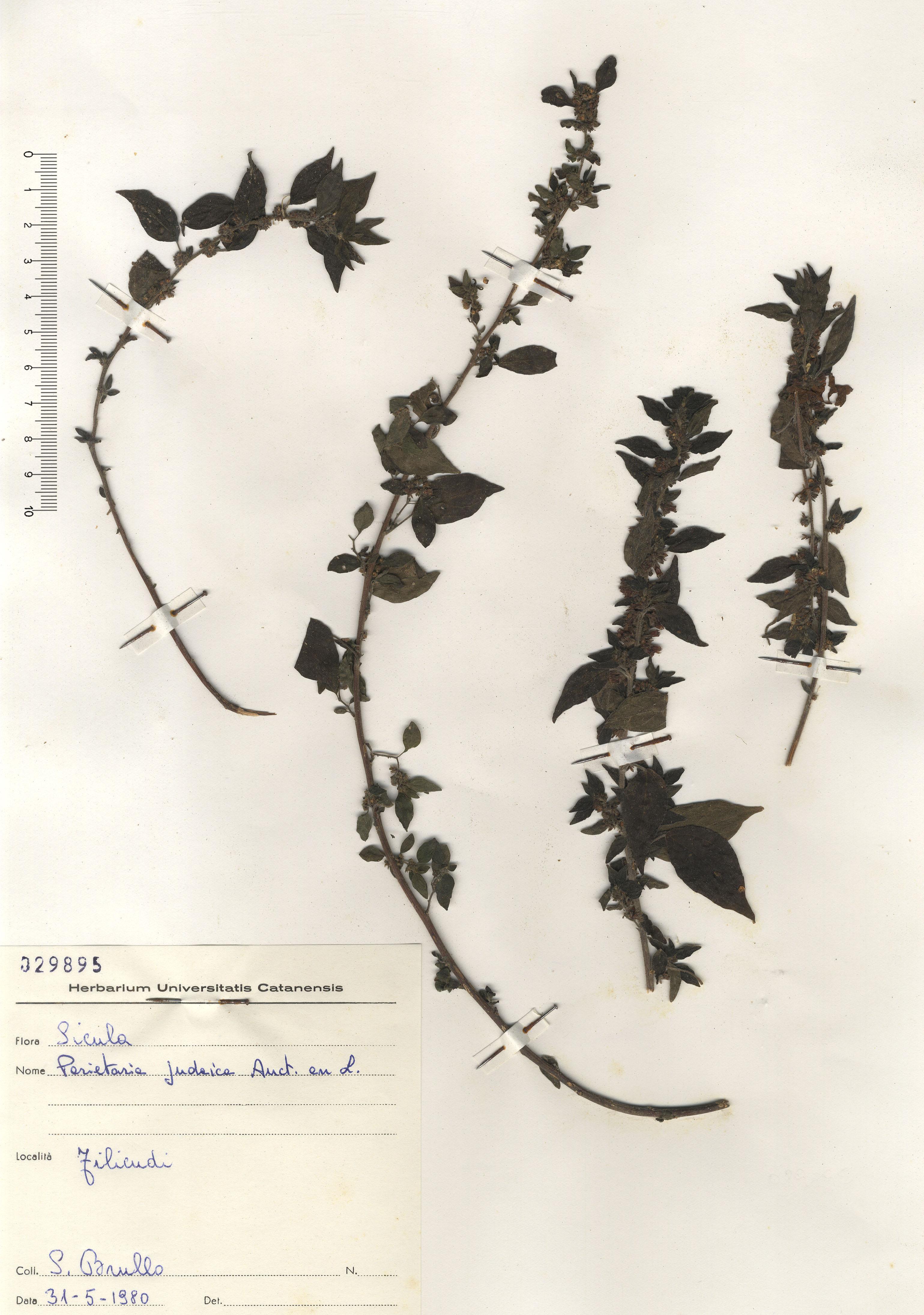 © Hortus Botanicus Catinensis- Herb. sheet 029895<br>
