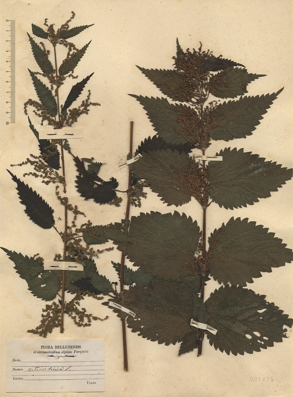 © Hortus Botanicus Catinensis- Herb. sheet 001475<br>