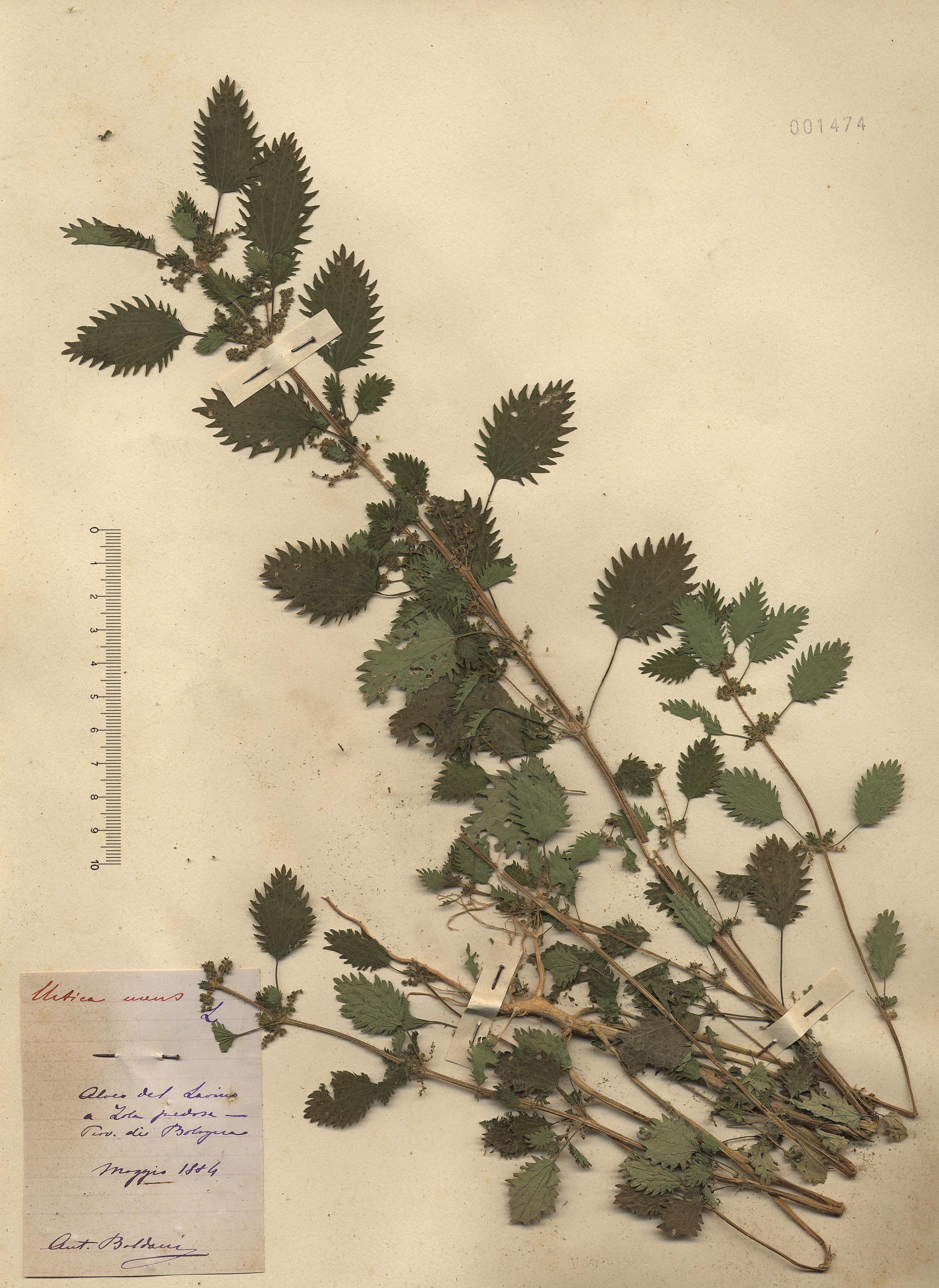 © Hortus Botanicus Catinensis- Herb. sheet 001474<br>