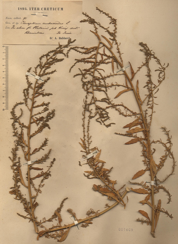© Hortus Botanicus Catinensis - Herb. sheet 001609<br>