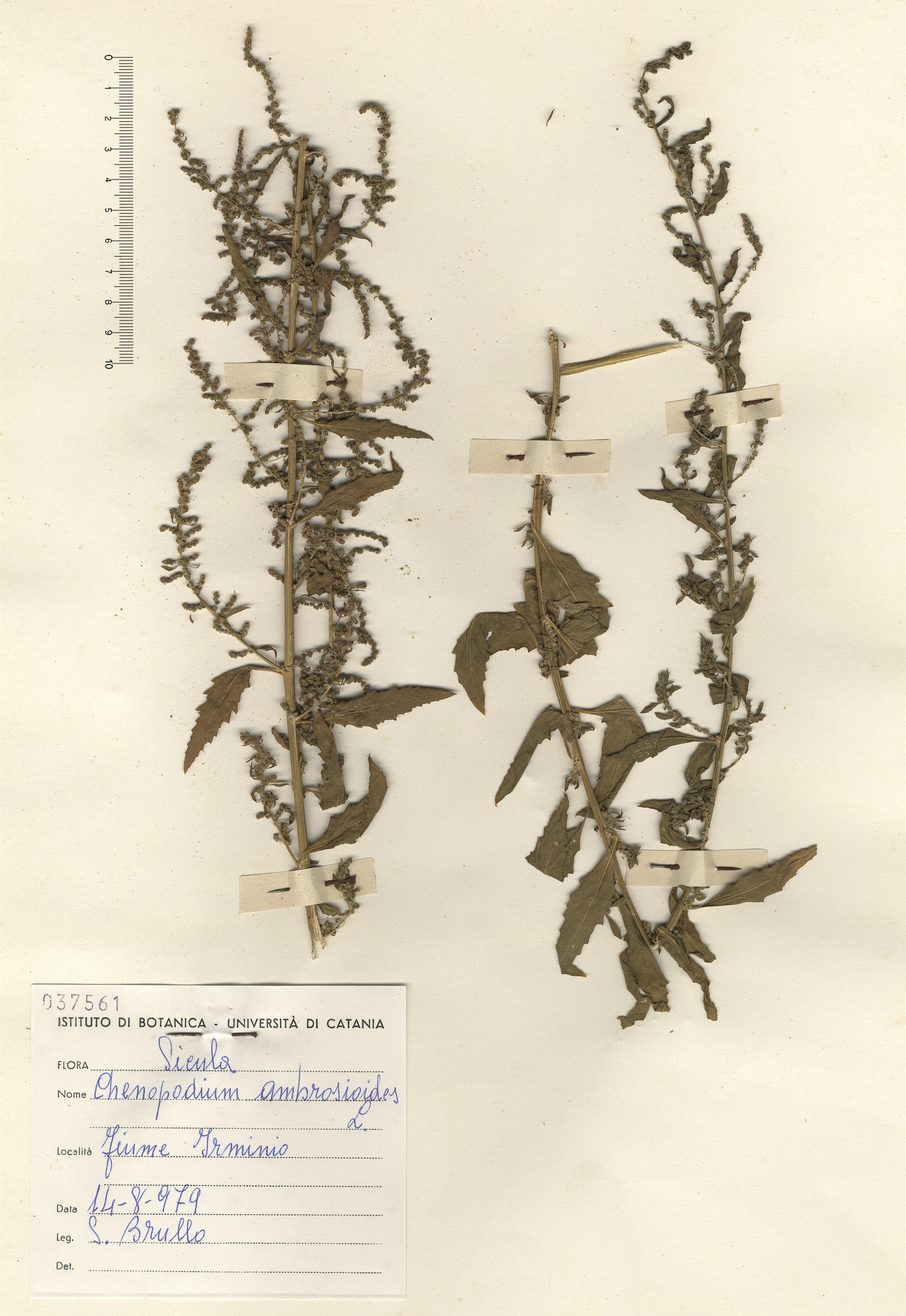 © Hortus Botanicus Catinensis - Herb. sheet 037561<br>