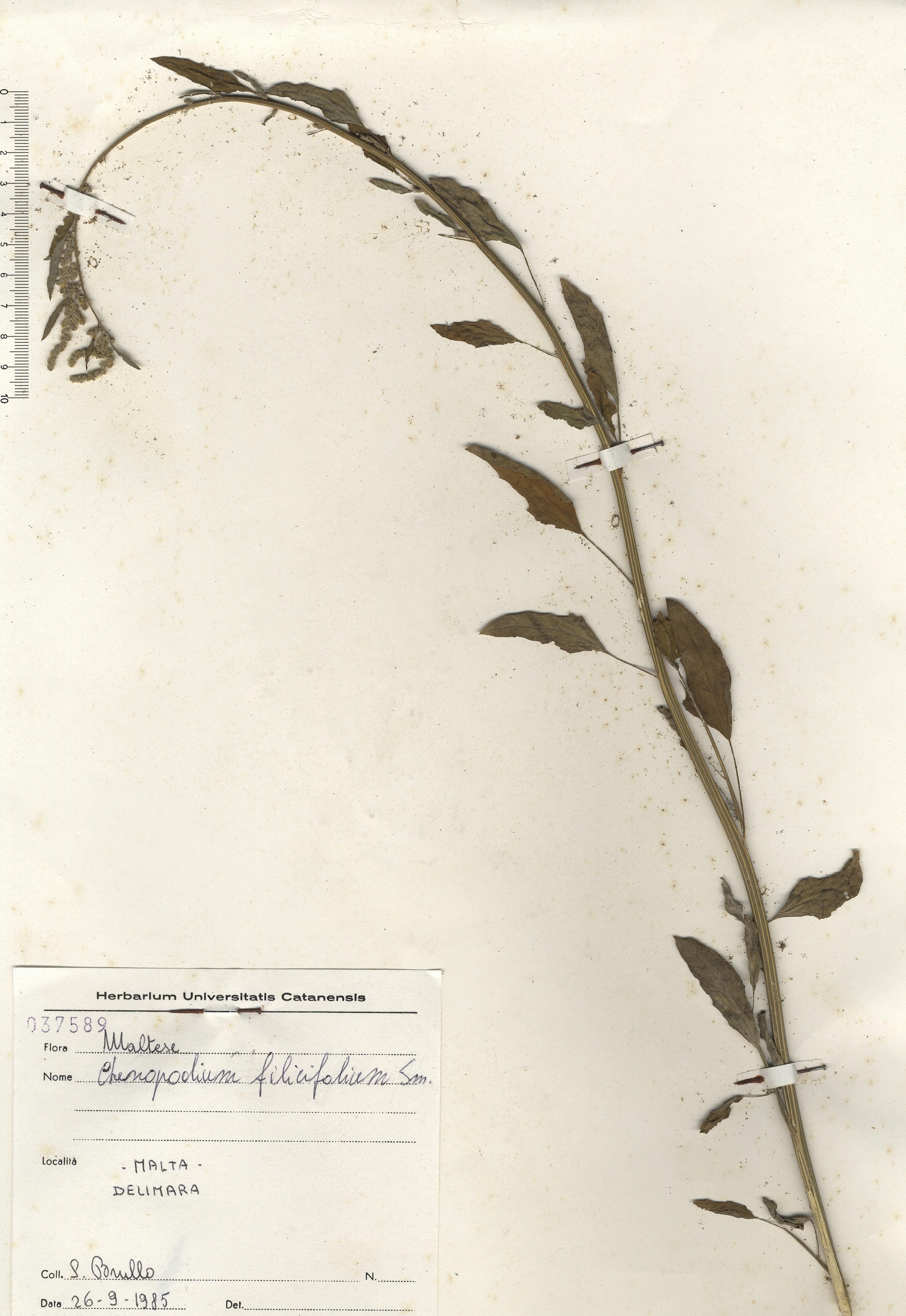 © Hortus Botanicus Catinensis - Herb. sheet 037589<br>