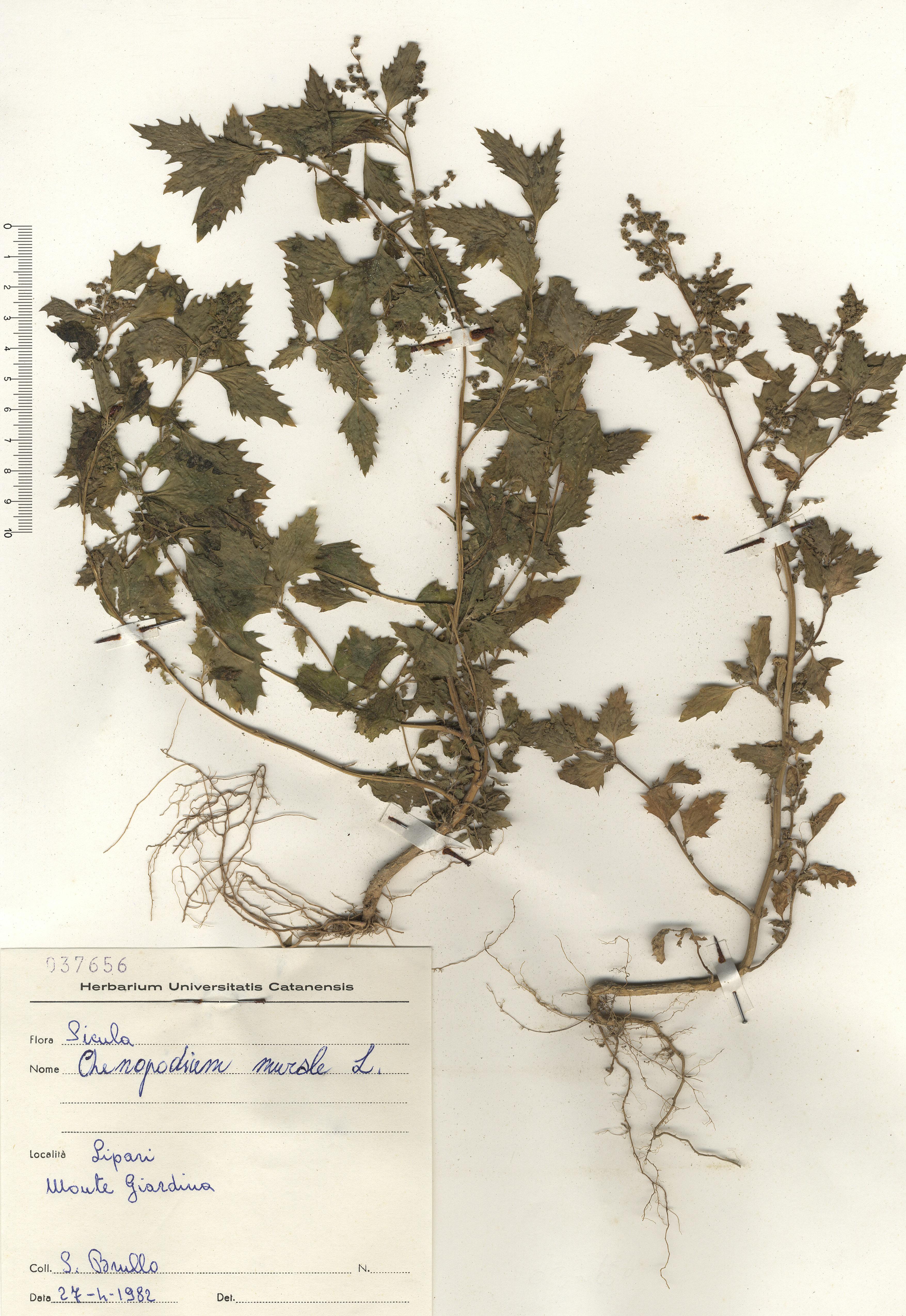 © Hortus Botanicus Catinensis - Herb. sheet 037656<br>