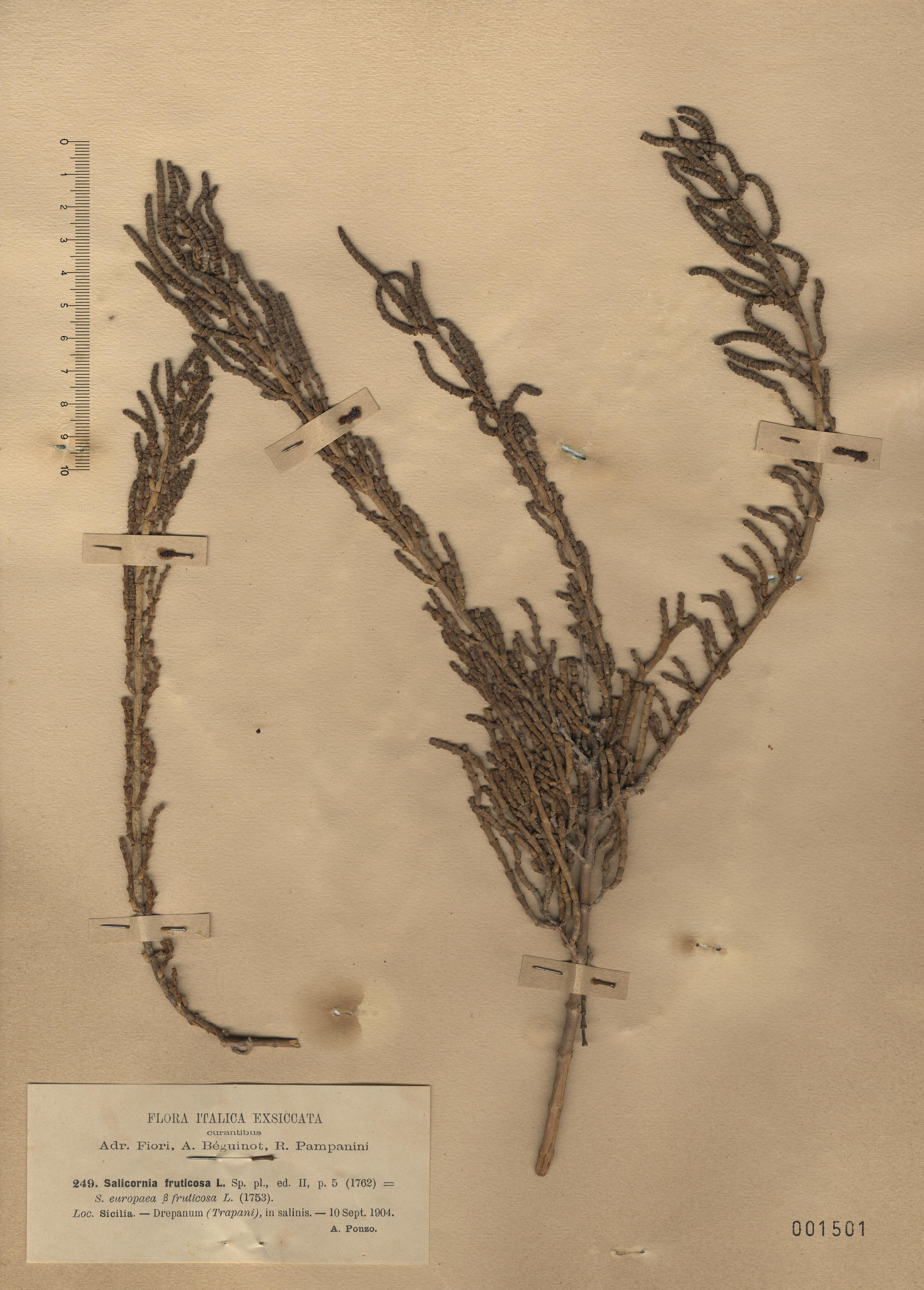 © Hortus Botanicus Catinensis - Herb. sheet 001501<br>