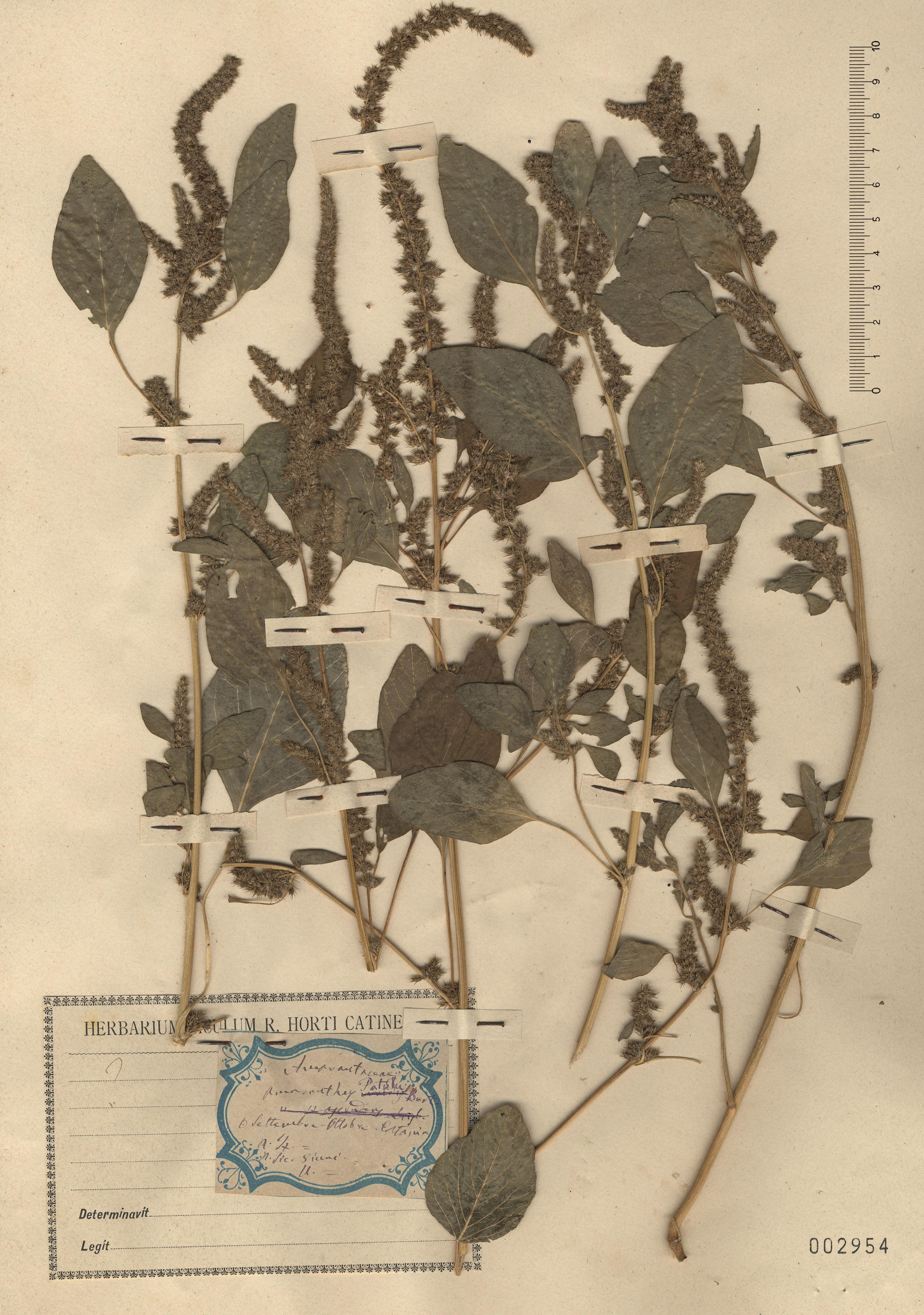 © Hortus Botanicus Catinensis - Herb. sheet 002954<br>