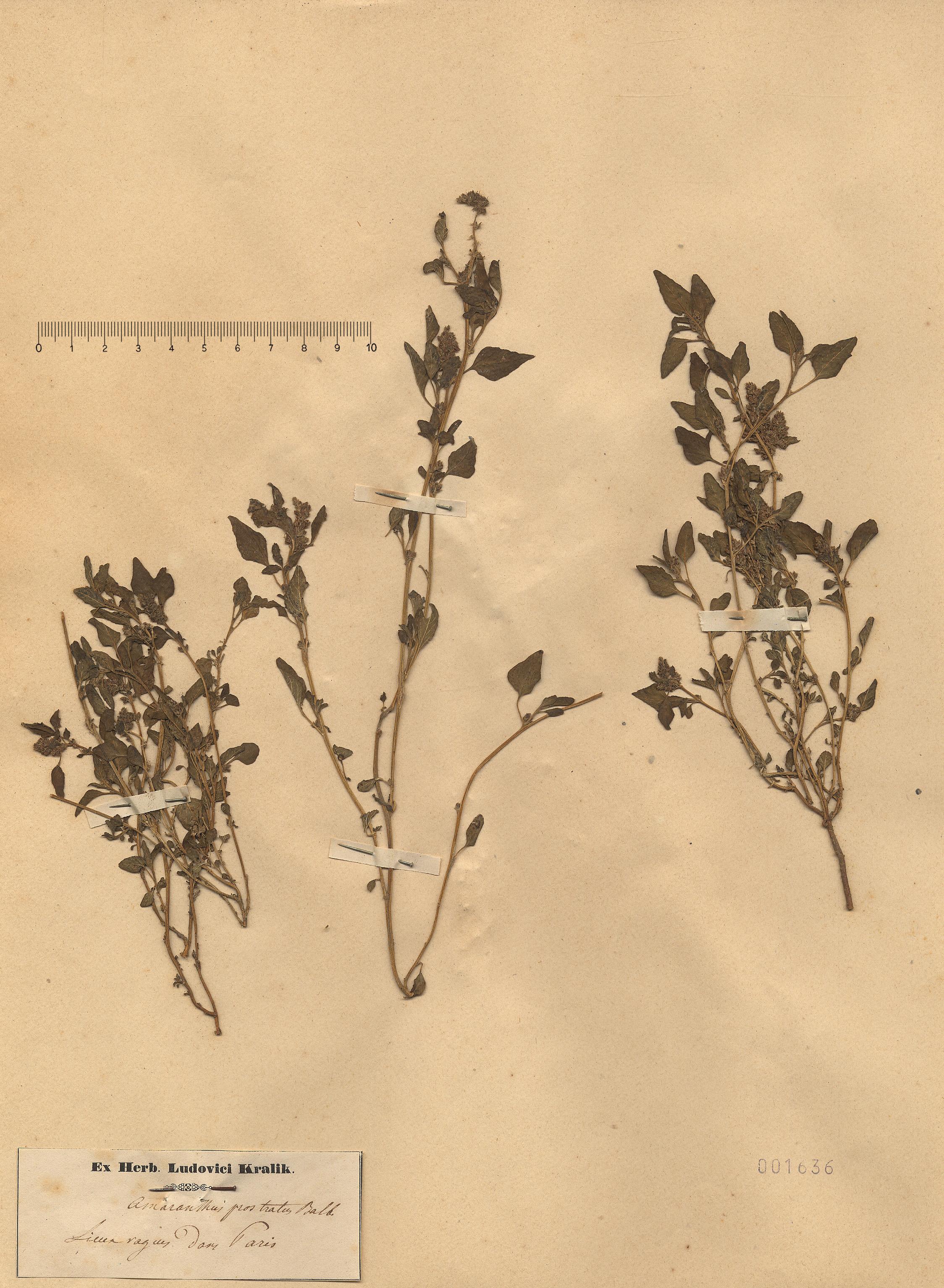 © Hortus Botanicus Catinensis - Herb. sheet 001636<br>