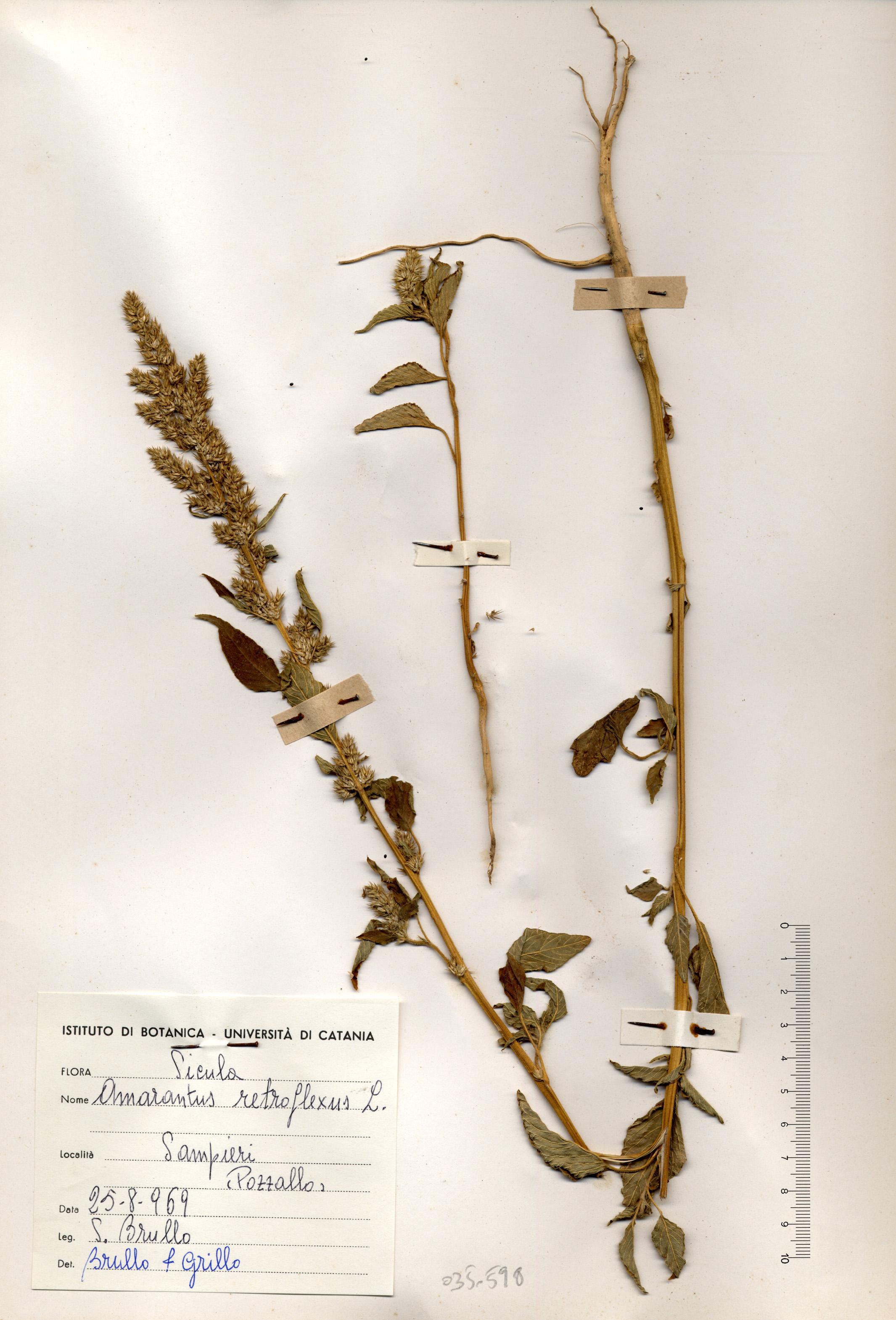 © Hortus Botanicus Catinensis - Herb. sheet 035598<br>