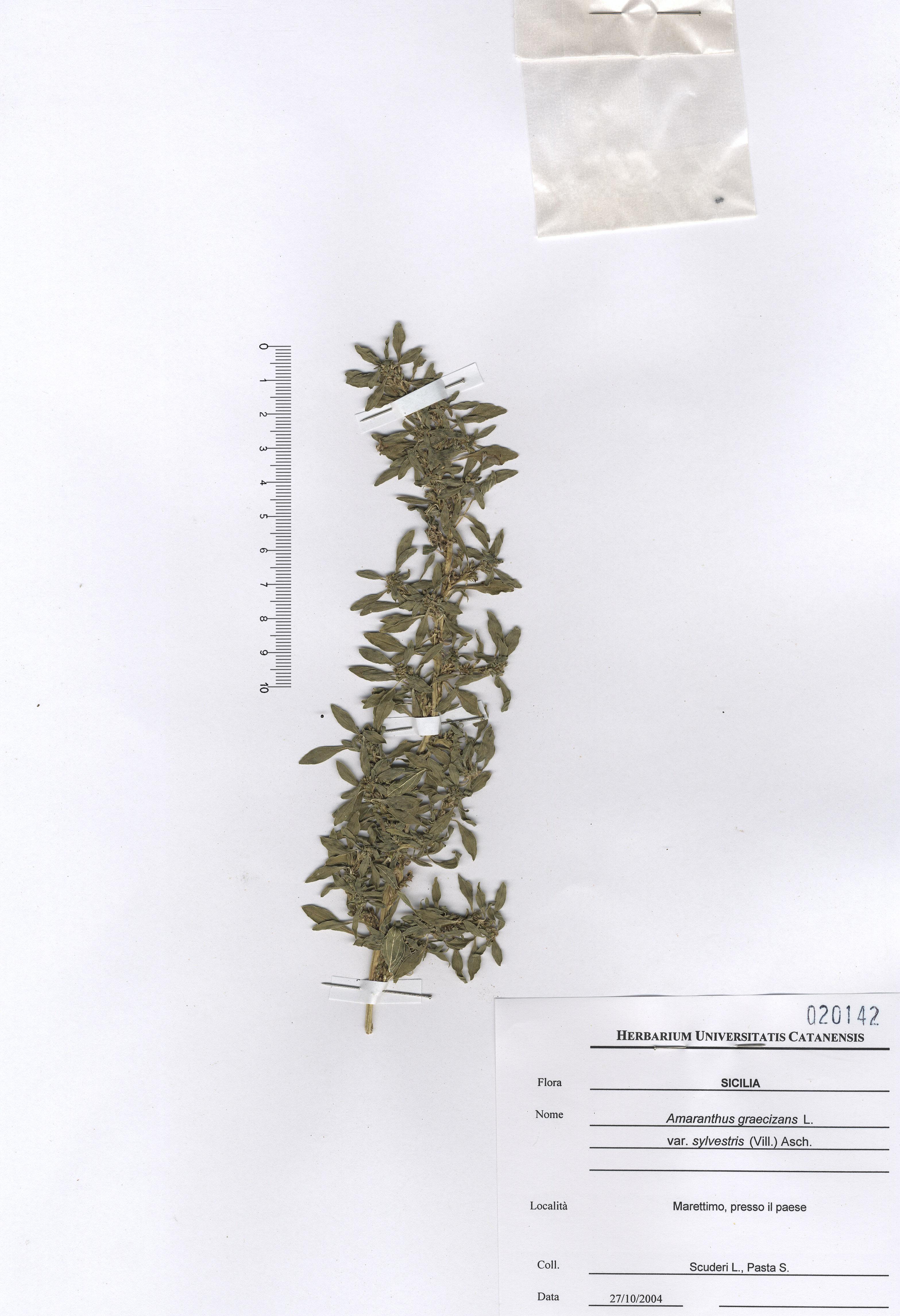 © Hortus Botanicus Catinensis - Herb. sheet 020142<br>