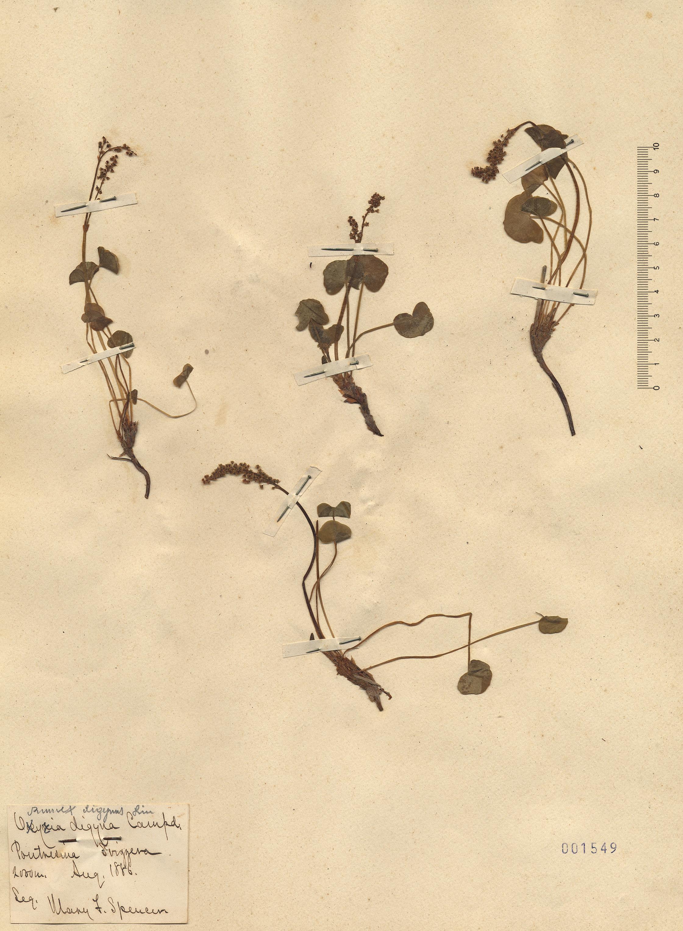 © Hortus Botanicus Catinensis - Heb. sheet 001549<br>