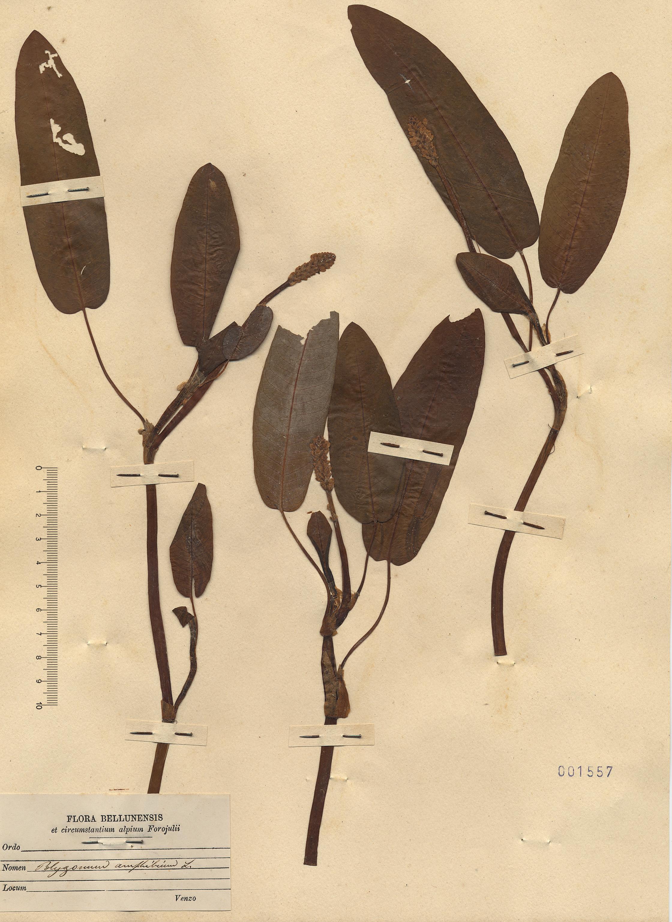 © Hortus Botanicus Catinensis - Heb. sheet 001557<br>
