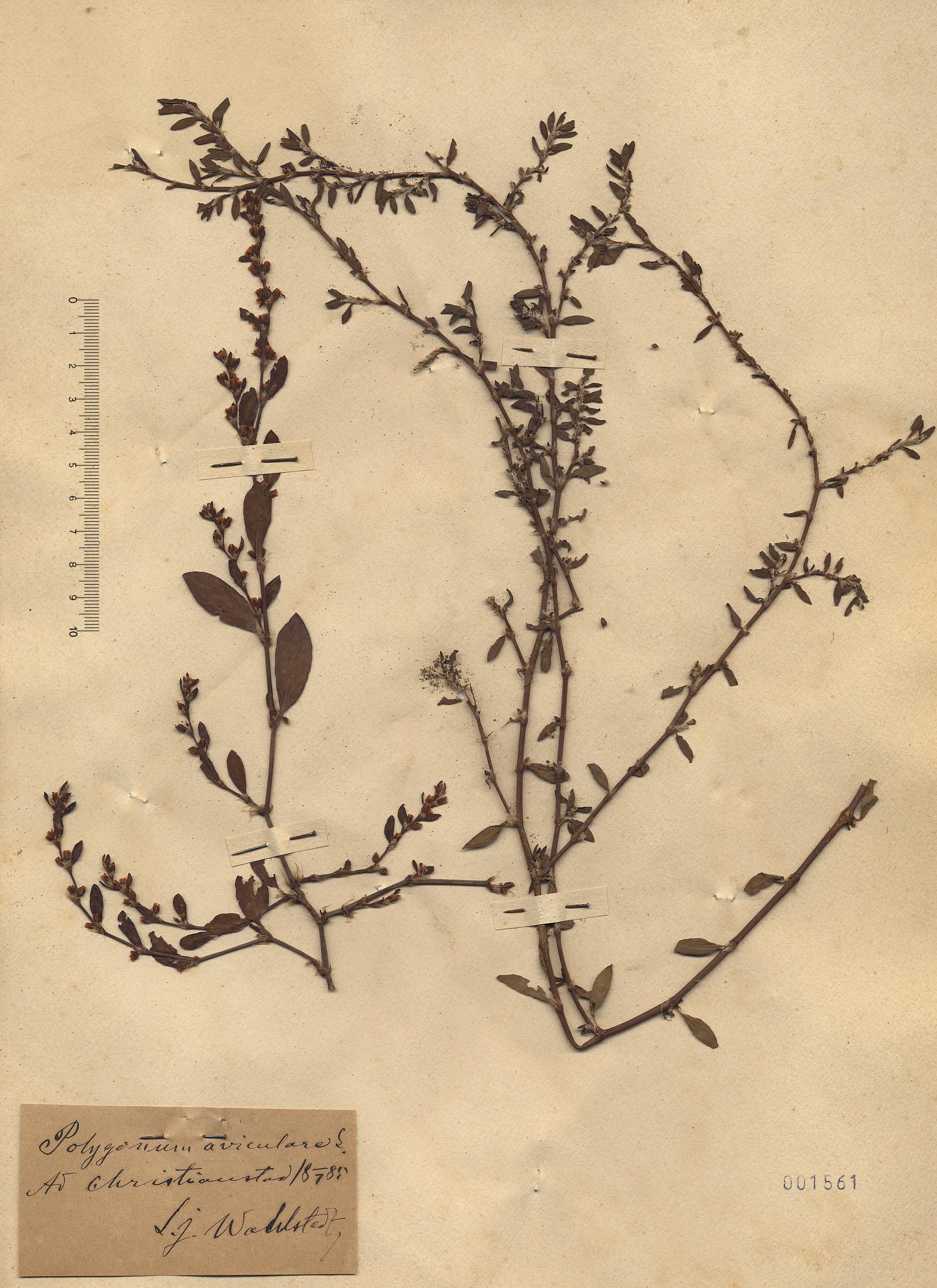 © Hortus Botanicus Catinensis - Heb. sheet 001561<br>