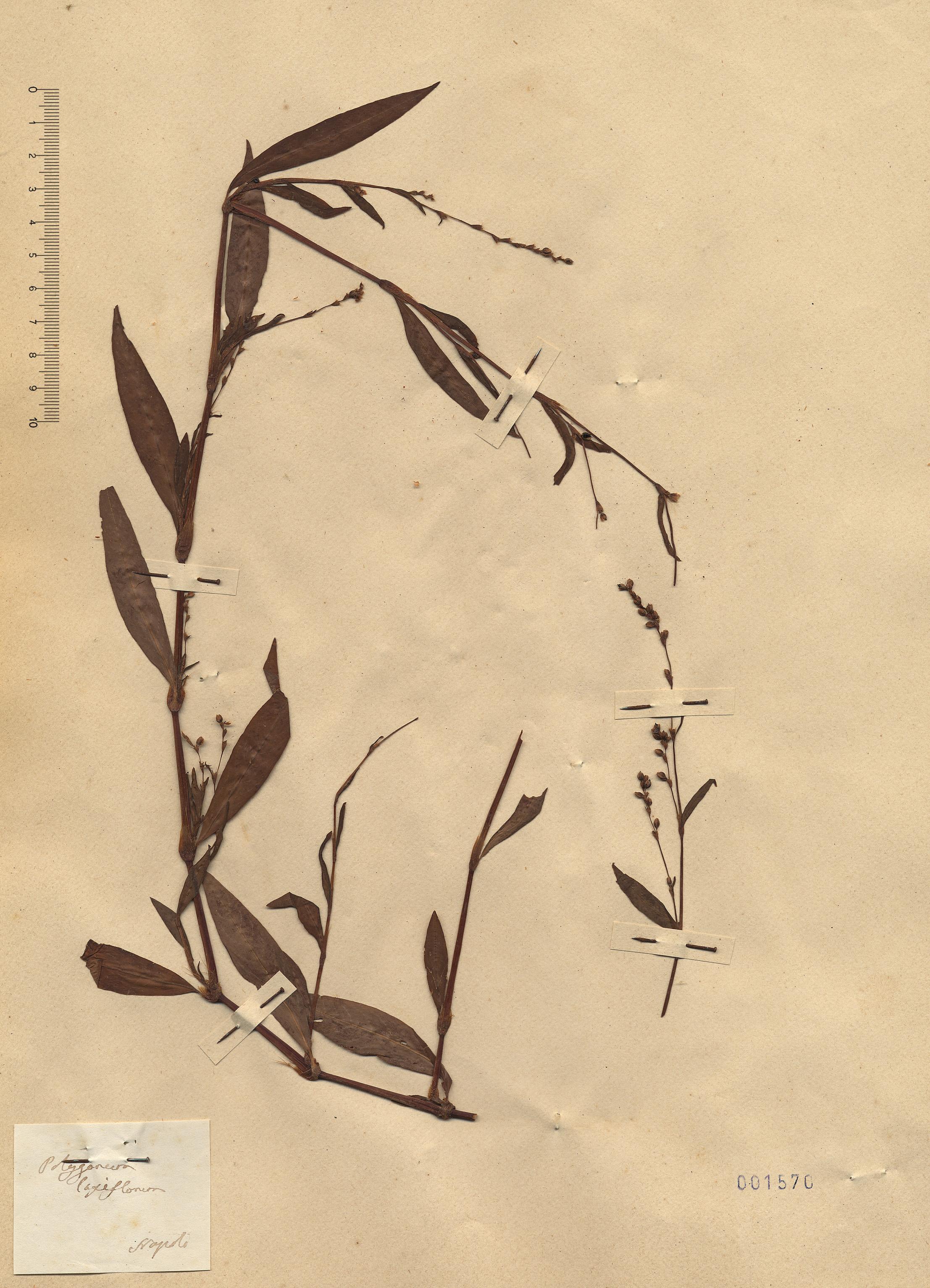 © Hortus Botanicus Catinensis - Heb. sheet 001570<br>