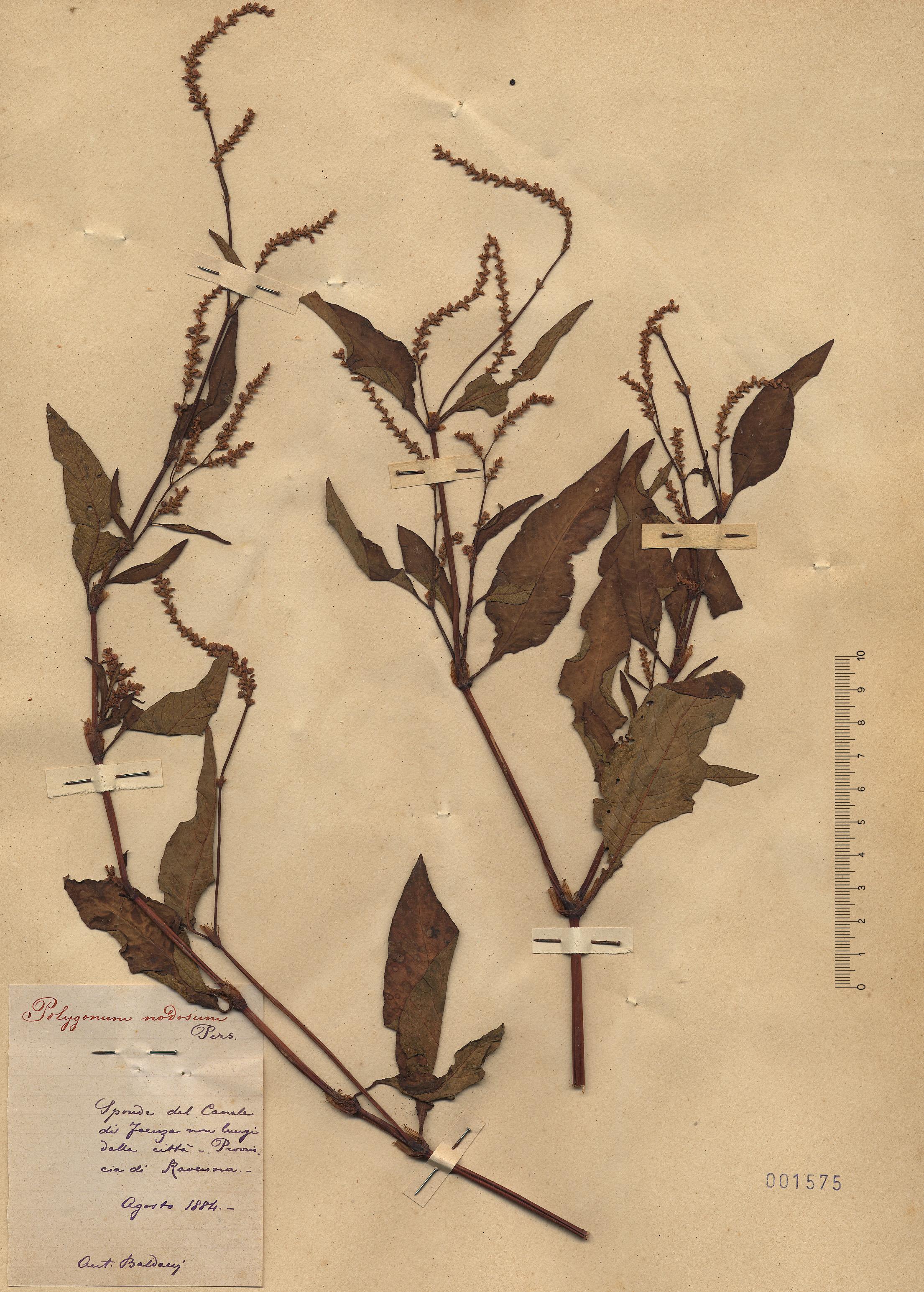 © Hortus Botanicus Catinensis - Heb. sheet 001575<br>