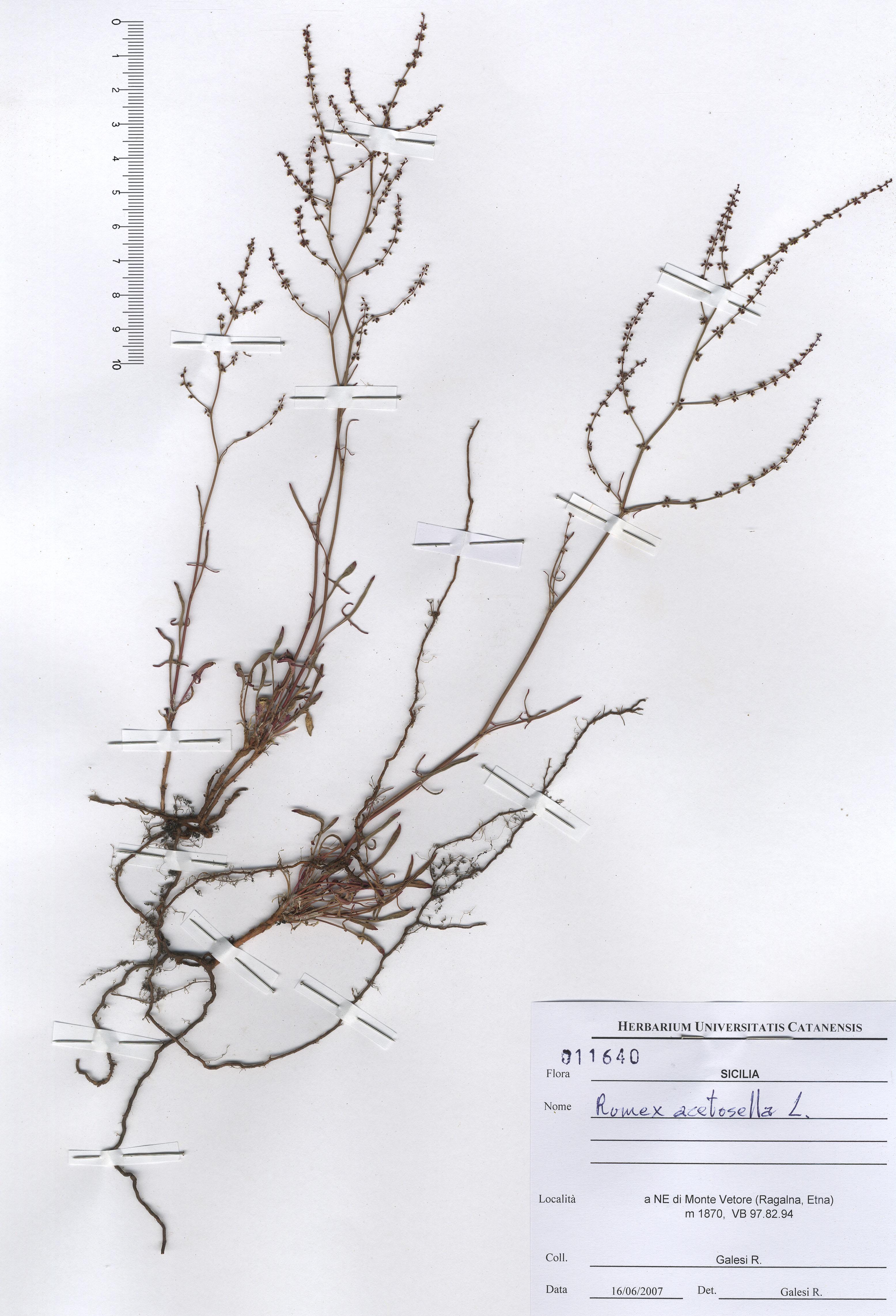 © Hortus Botanicus Catinensis - Heb. sheet 001640<br>