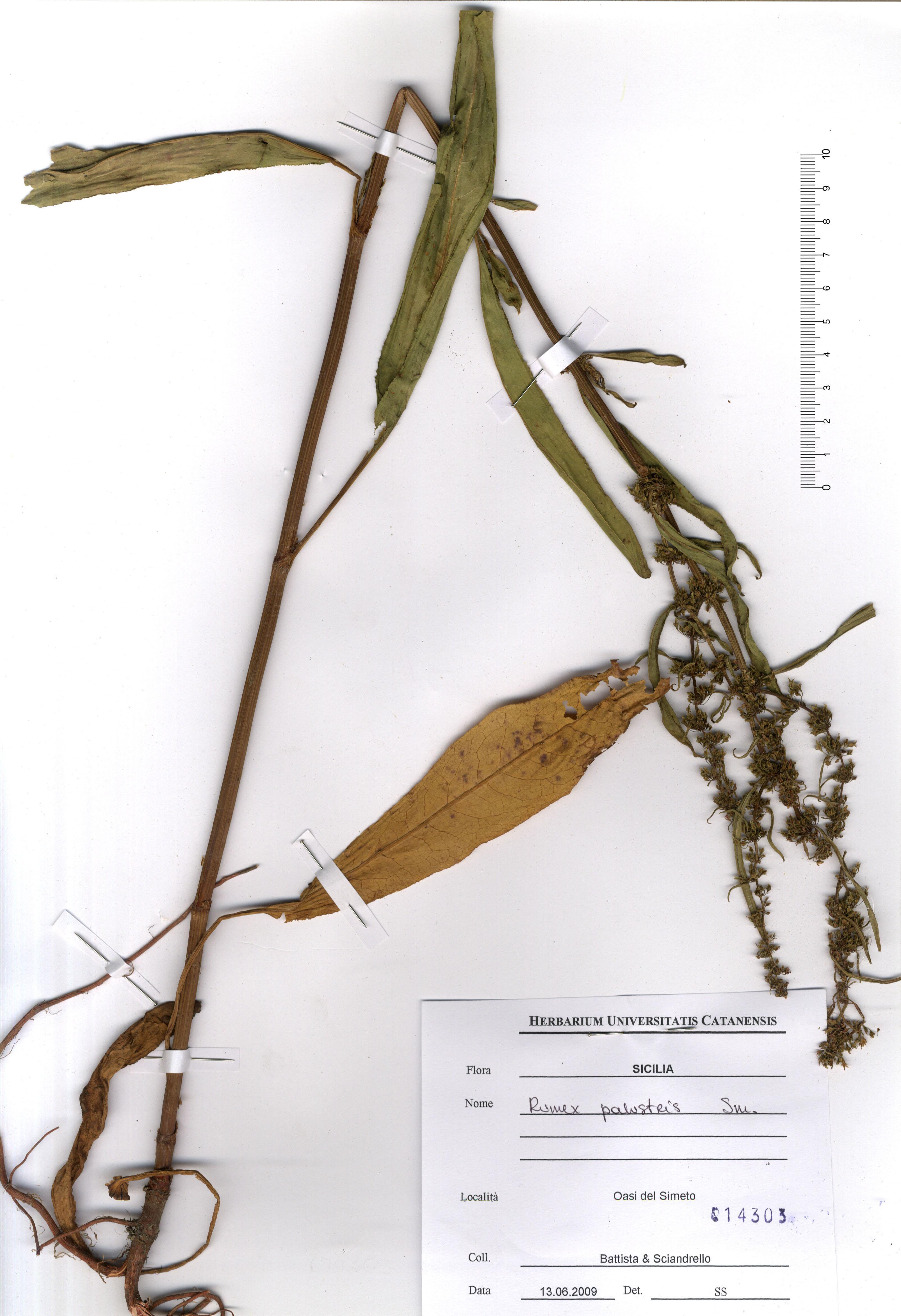 © Hortus Botanicus Catinensis - Heb. sheet 014303<br>