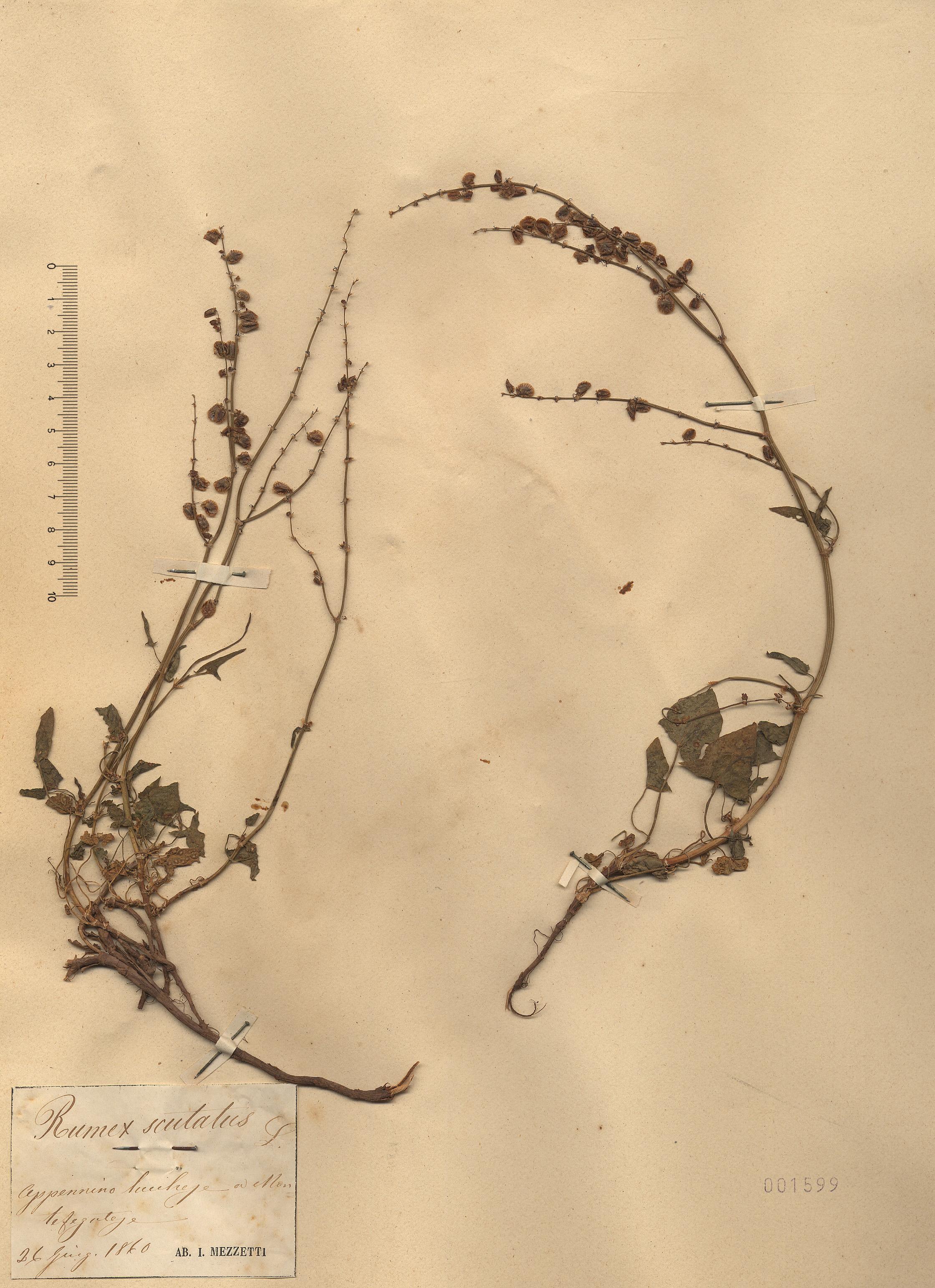 © Hortus Botanicus Catinensis - Heb. sheet 001599<br>