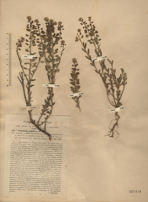 © Hortus Botanicus Catinensis - Heb. sheet 001418<br>