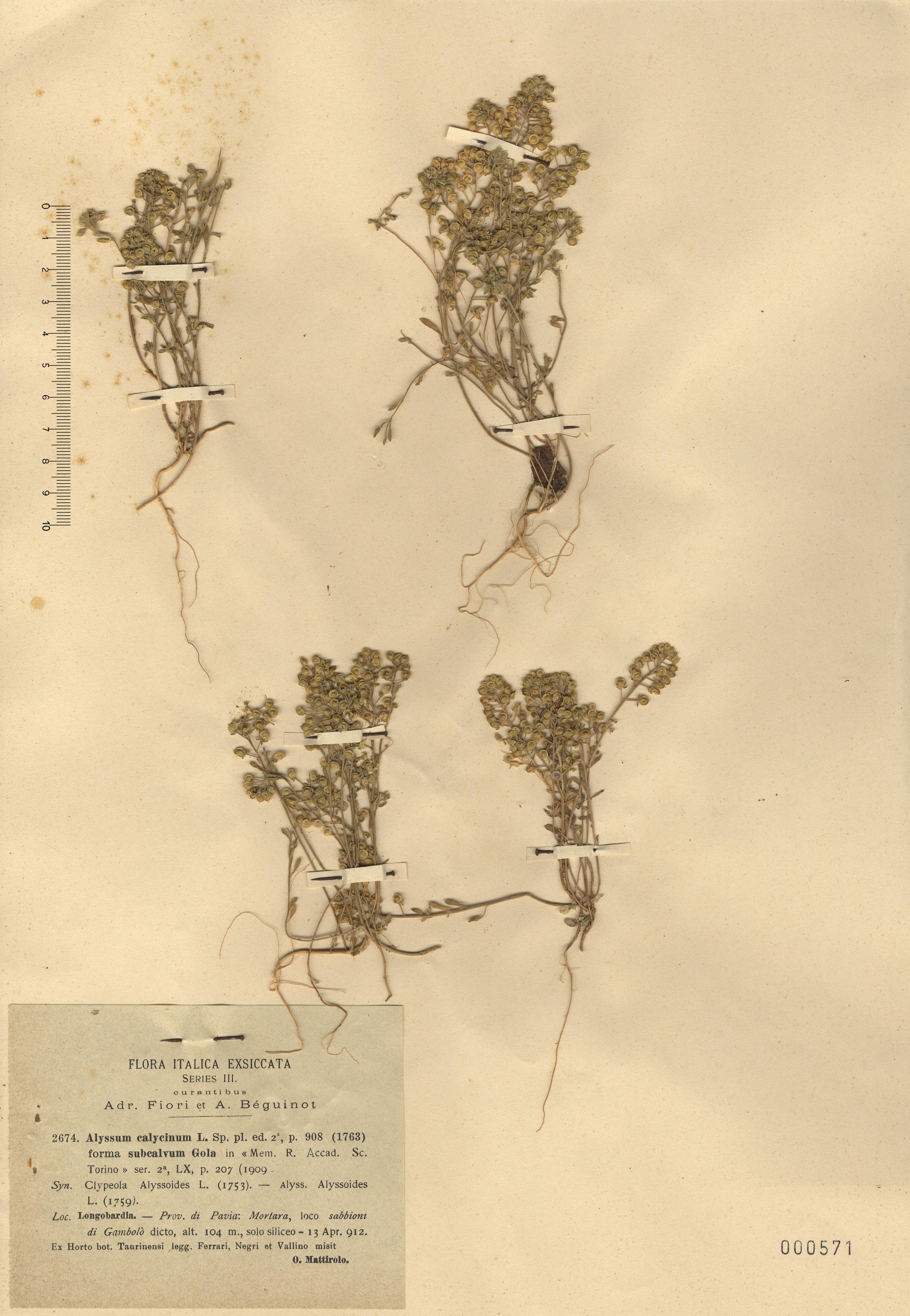 © Hortus Botanicus Catinensis - Heb. sheet 000571<br>