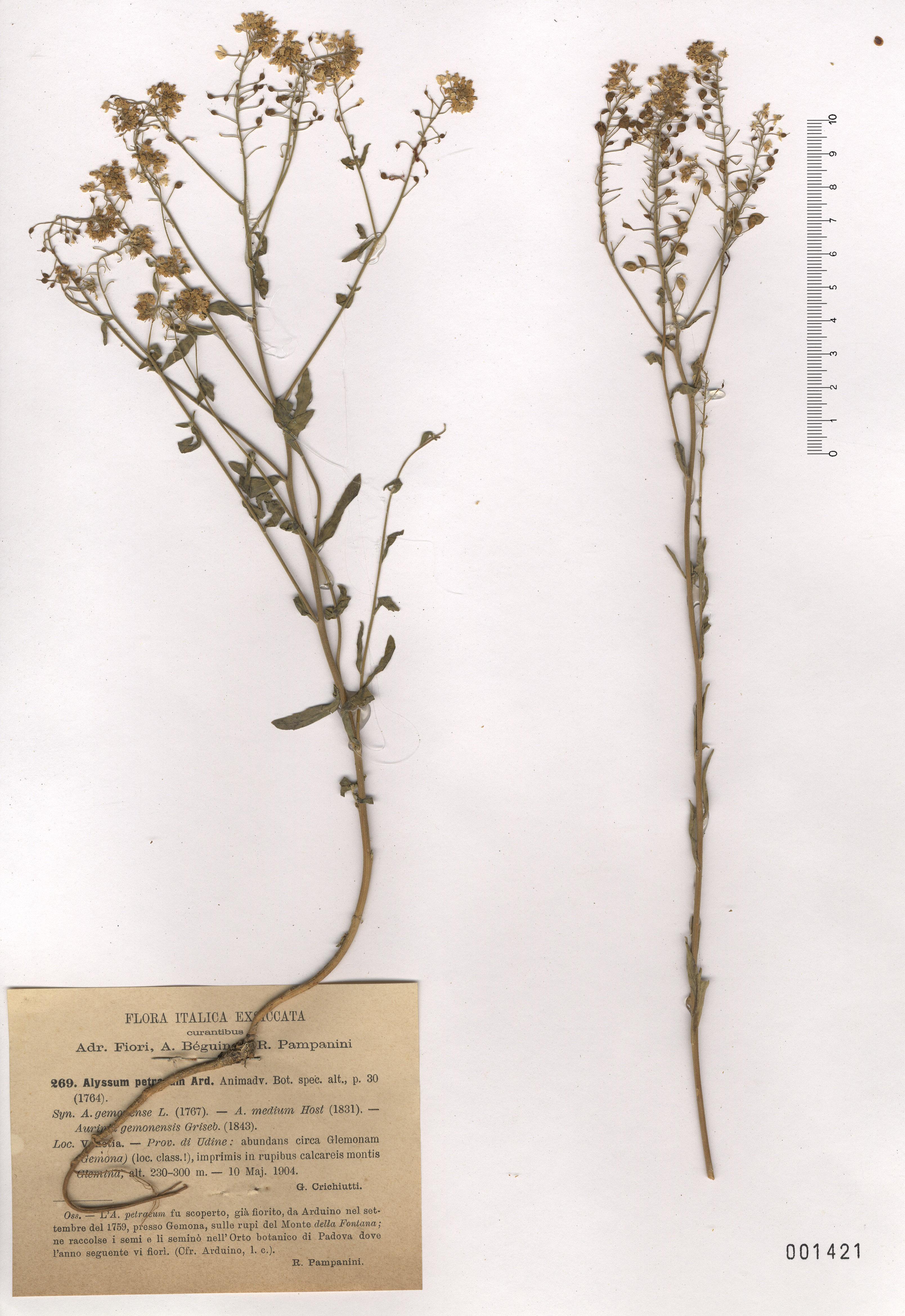© Hortus Botanicus Catinensis - Heb. sheet 000142<br>