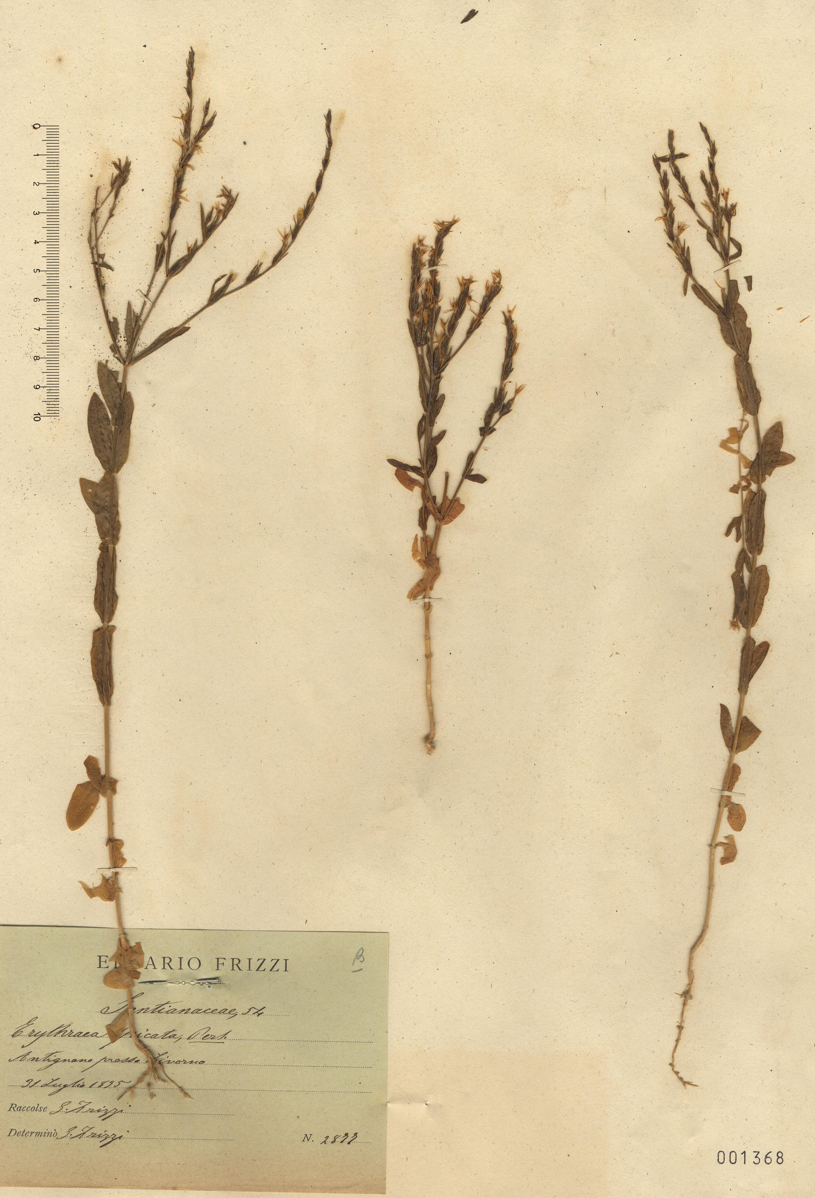 © Hortus Botanicus Catinensis 001368<br>