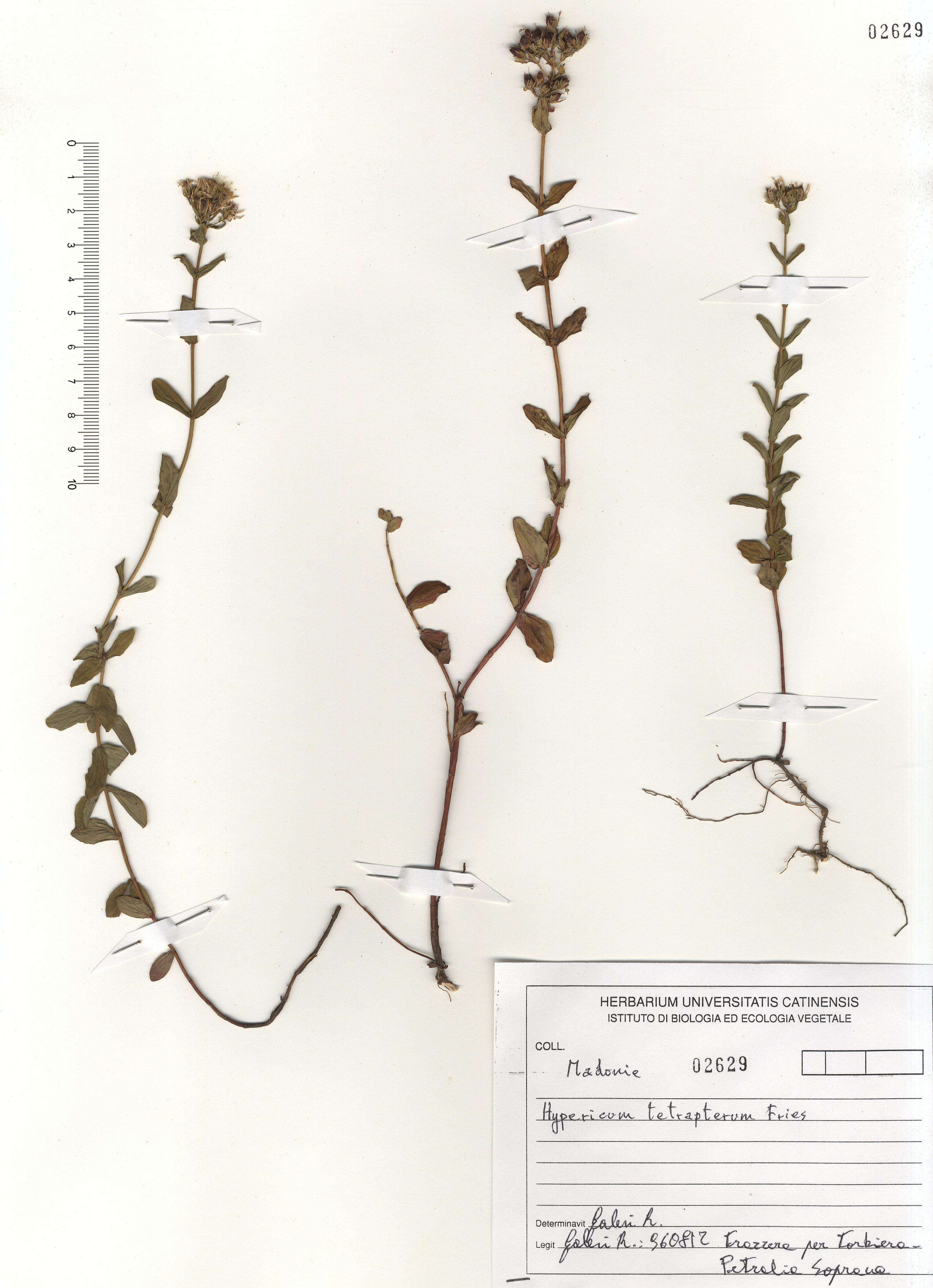 © Hortus Botanicus Catinensis - Herb. sheet 102692<br>