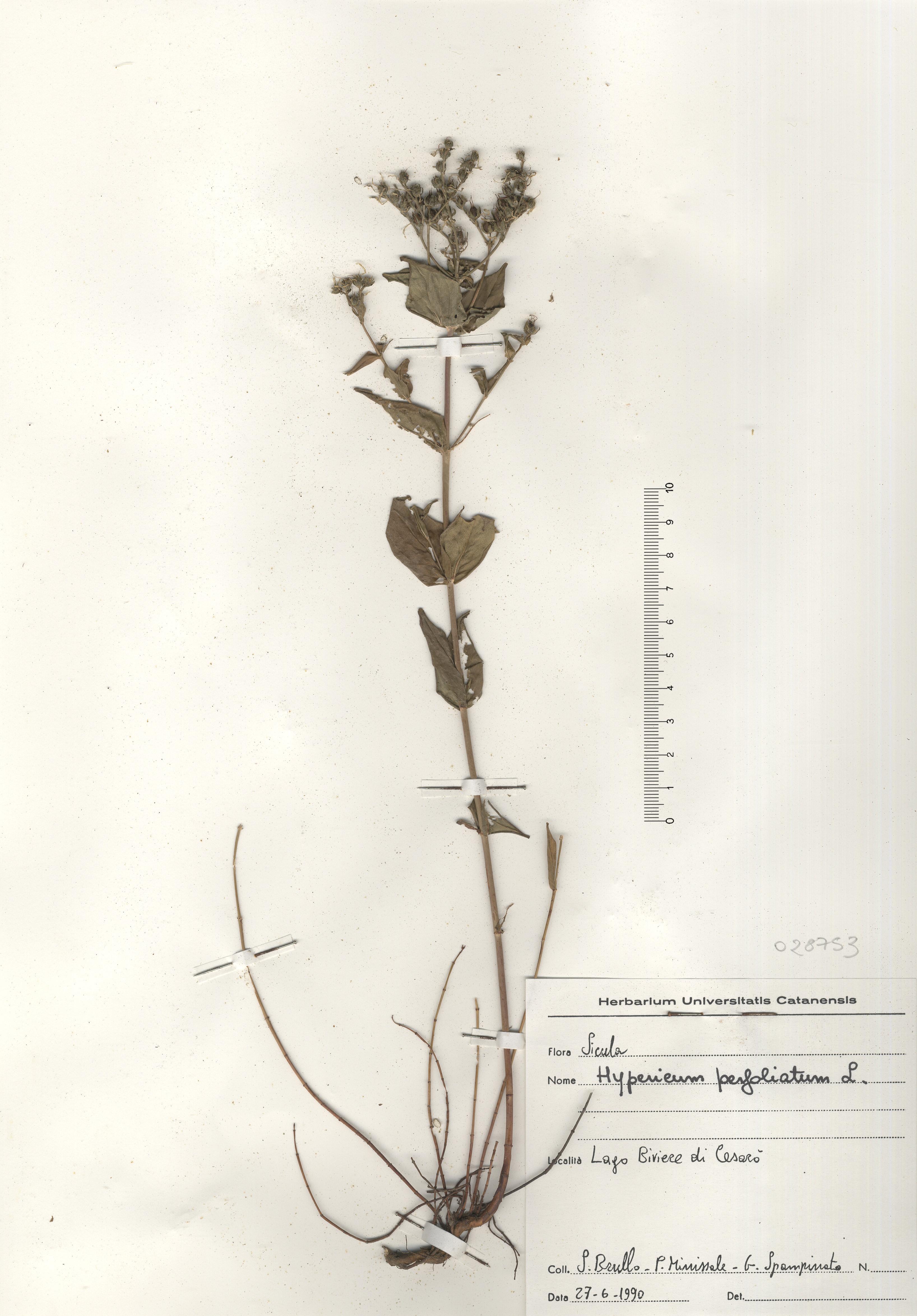 © Hortus Botanicus Catinensis - Herb. sheet 028753<br>