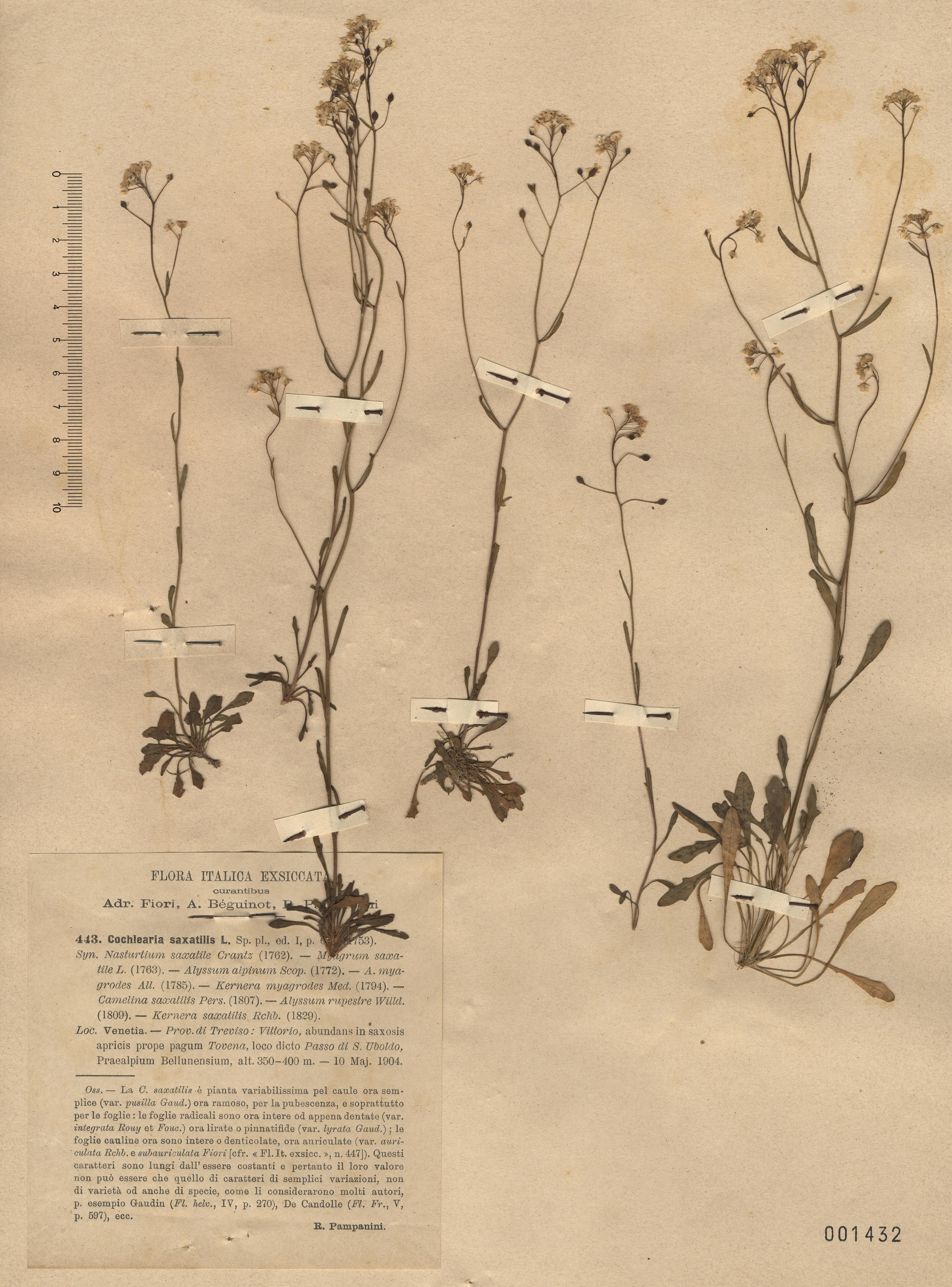 © Hortus Botanicus Catinensis - Herb. sheet 001432<br>