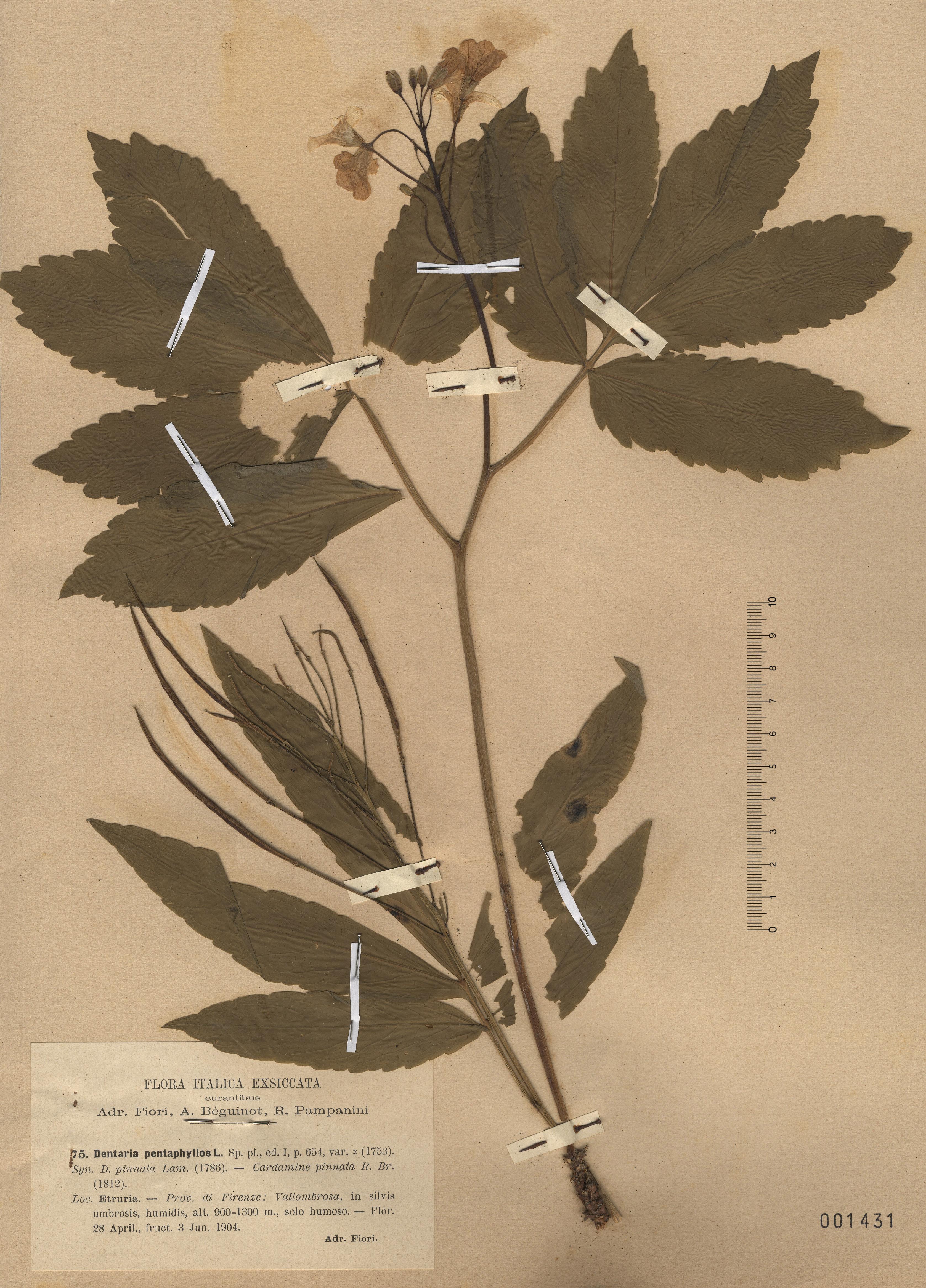 © Hortus Botanicus Catinensis - Herb. sheet 001431<br>