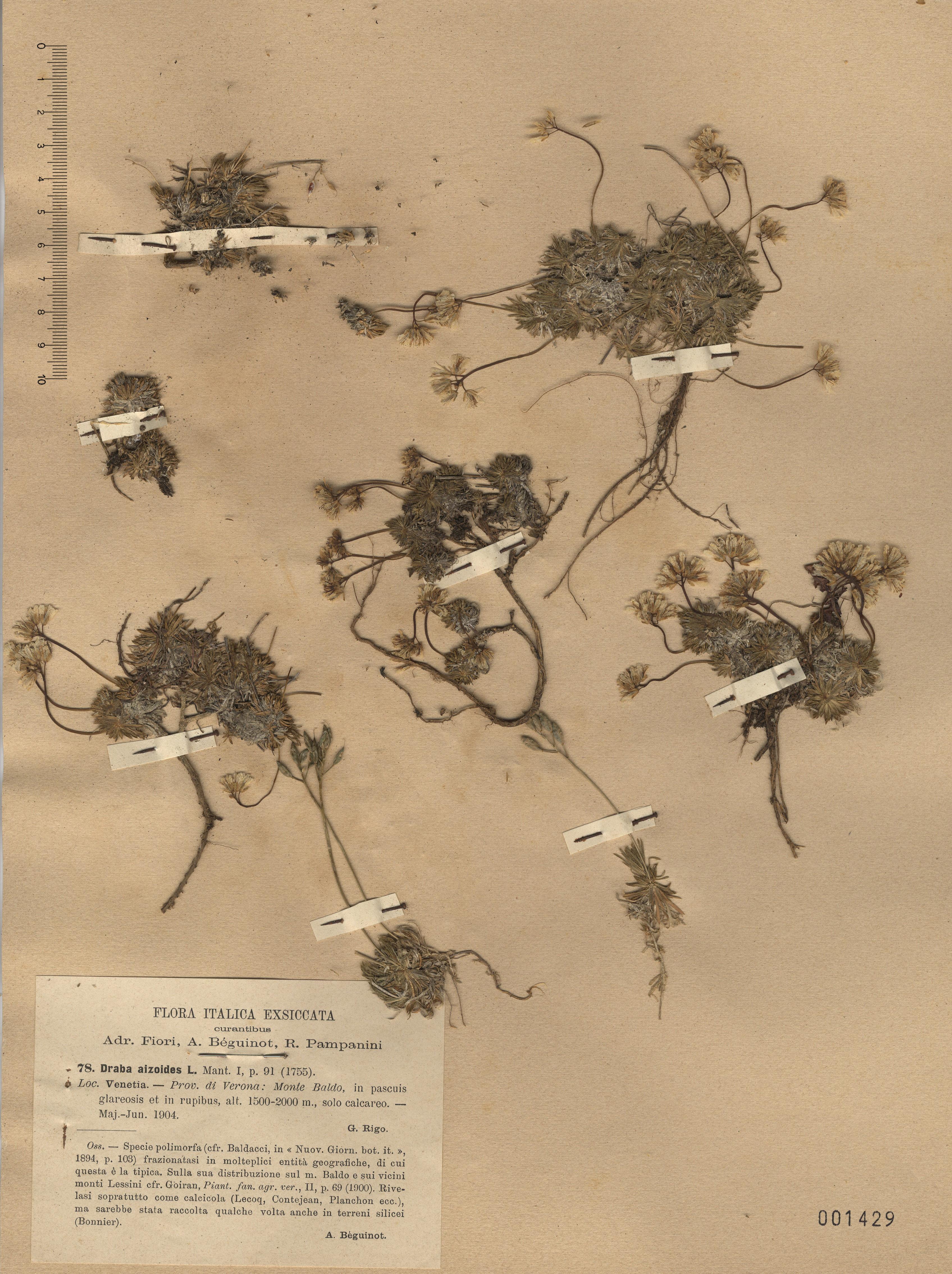 © Hortus Botanicus Catinensis - Herb. sheet 001429<br>