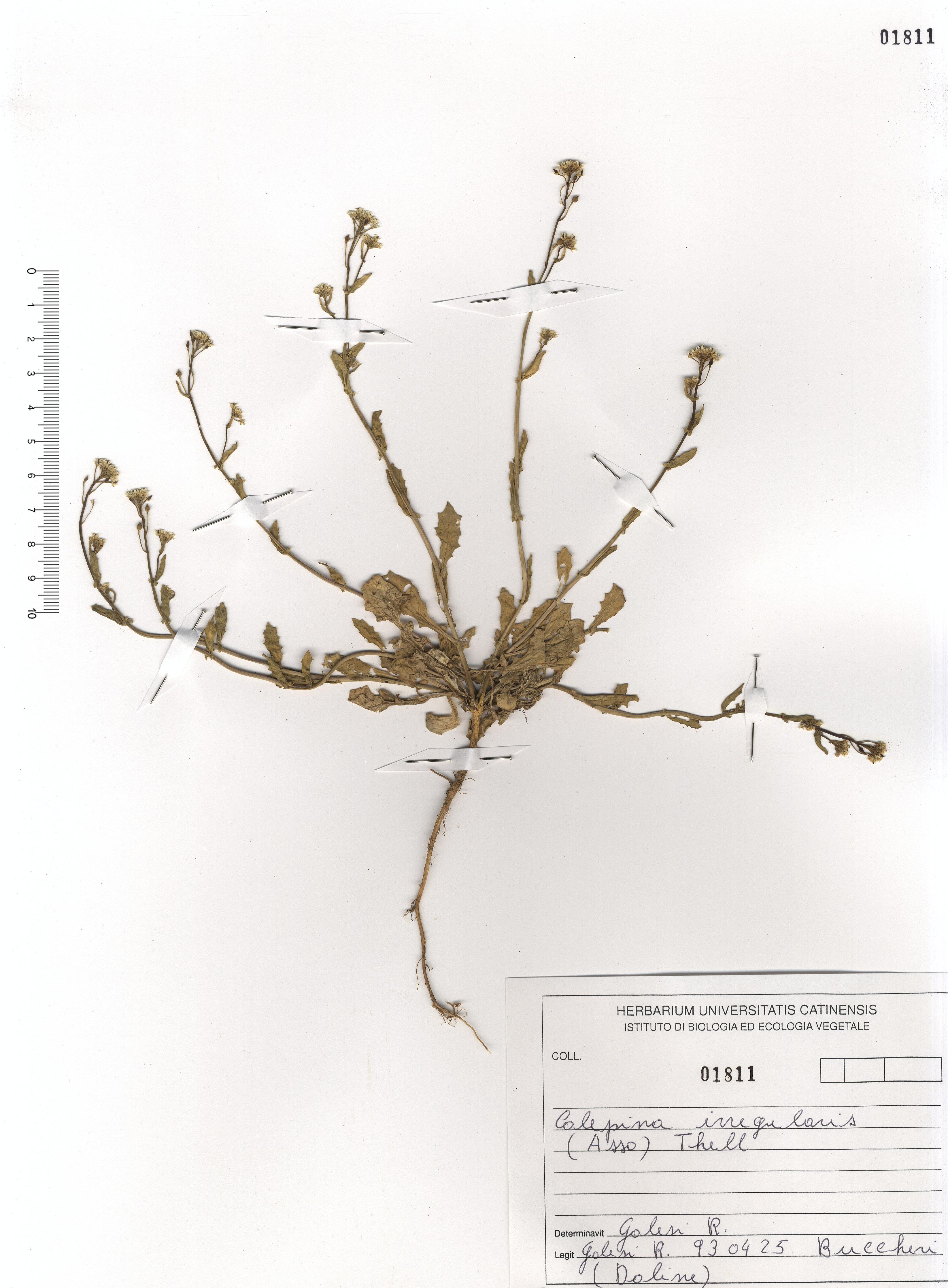 © Hortus Botanicus Catinensis - Herb. sheet 101811<br>