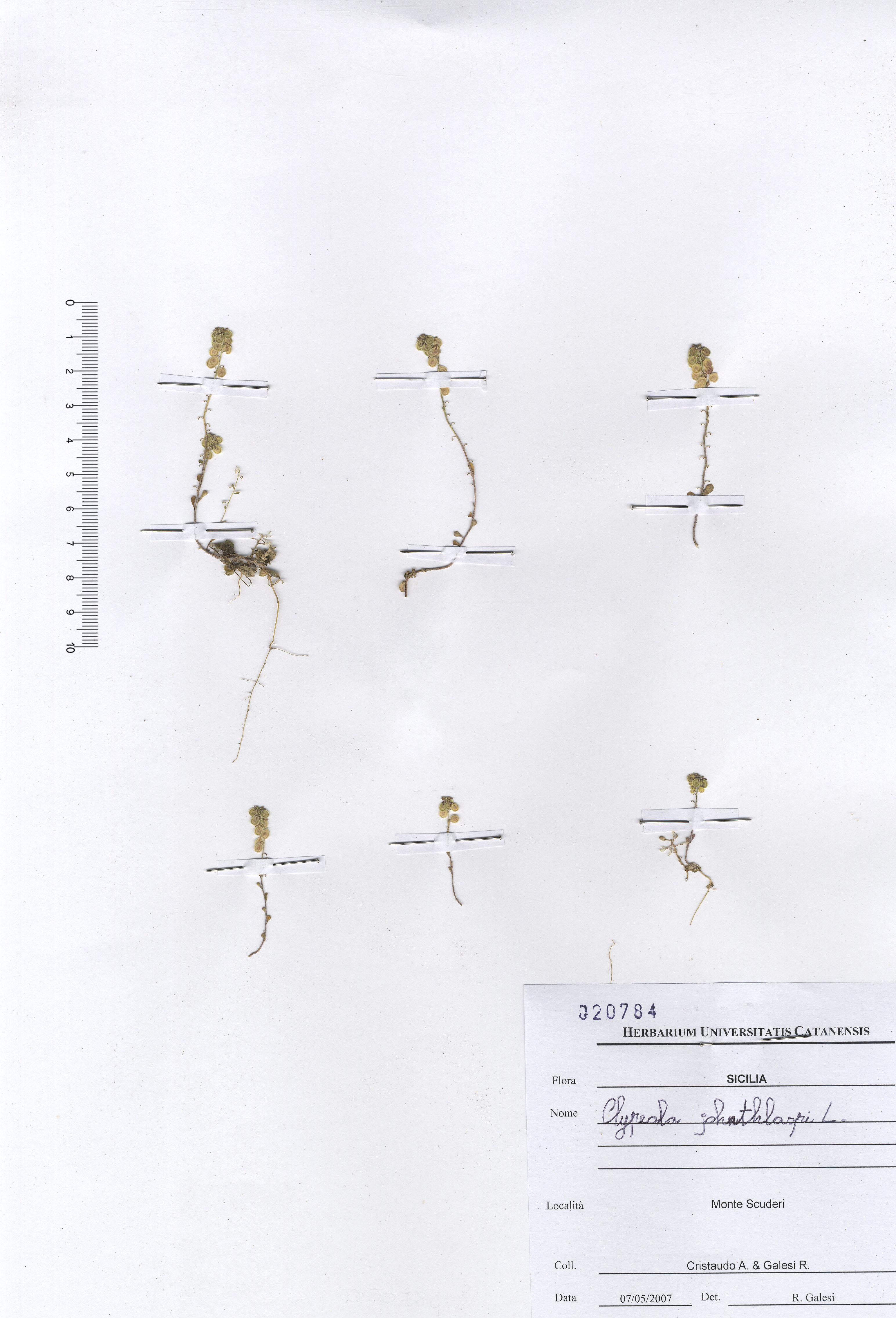 © Hortus Botanicus Catinensis - Herb. sheet 020784<br>