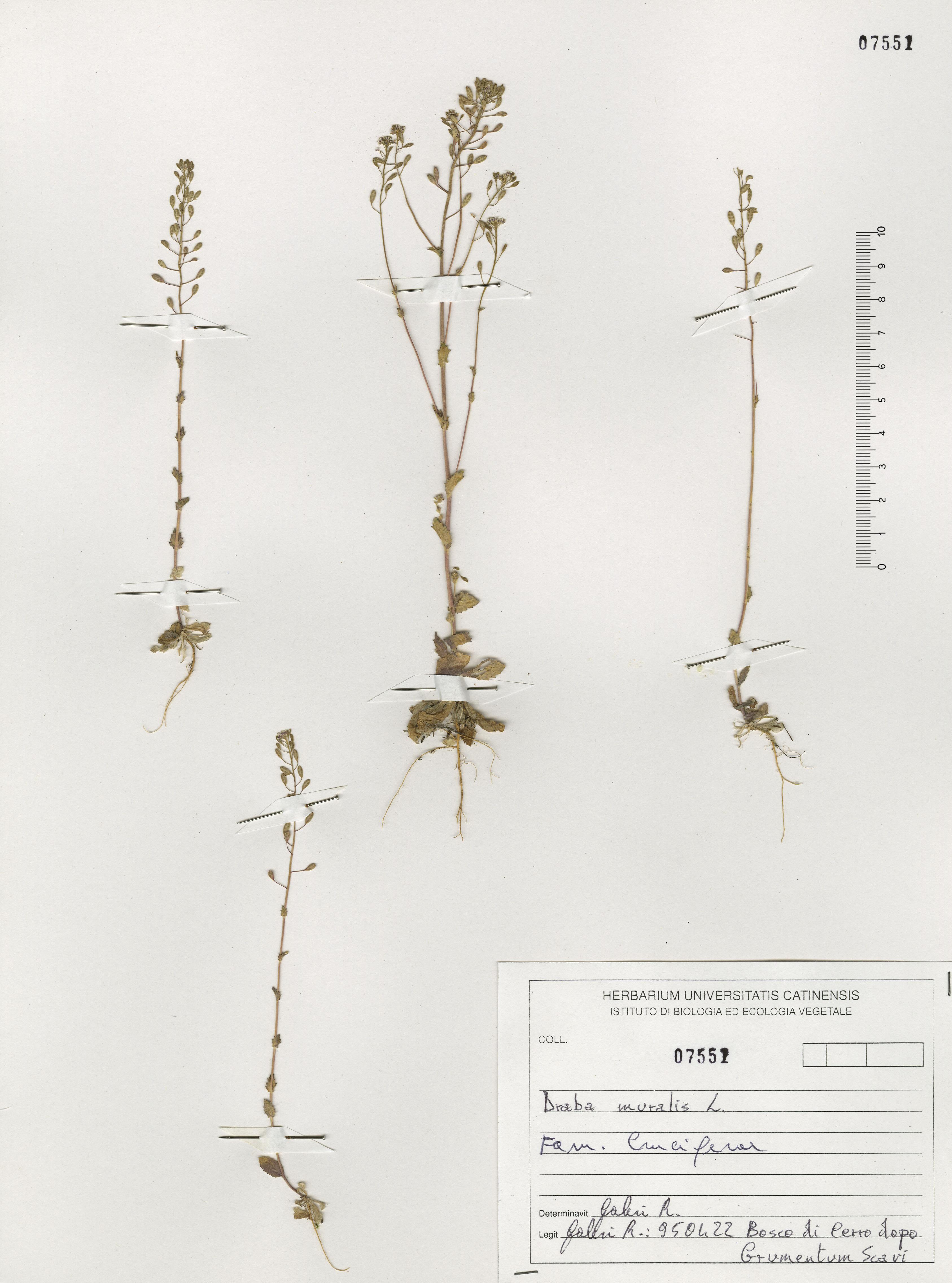 © Hortus Botanicus Catinensis - Herb. sheet 107551<br>