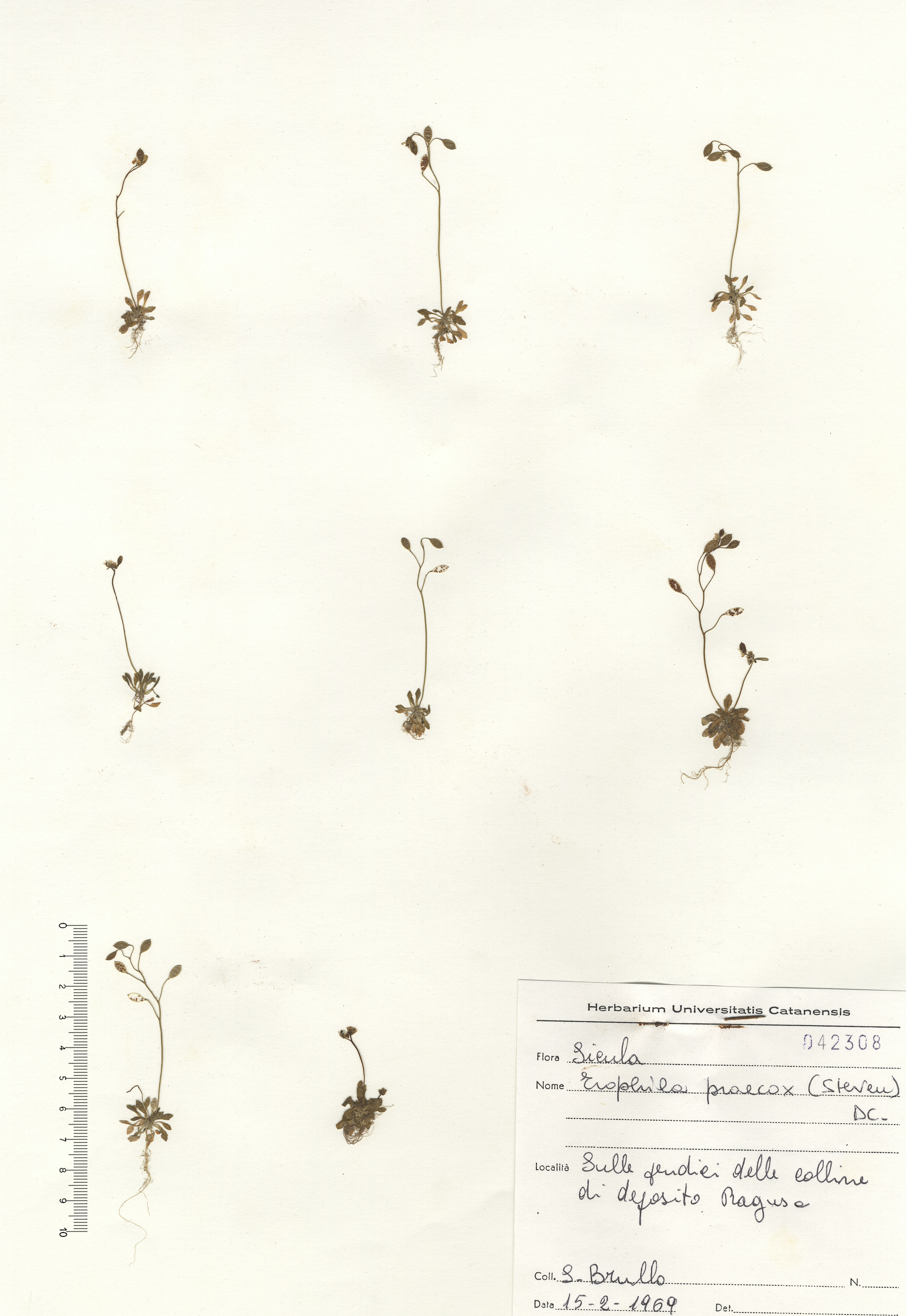 © Hortus Botanicus Catinensis - Herb. sheet 042308<br>