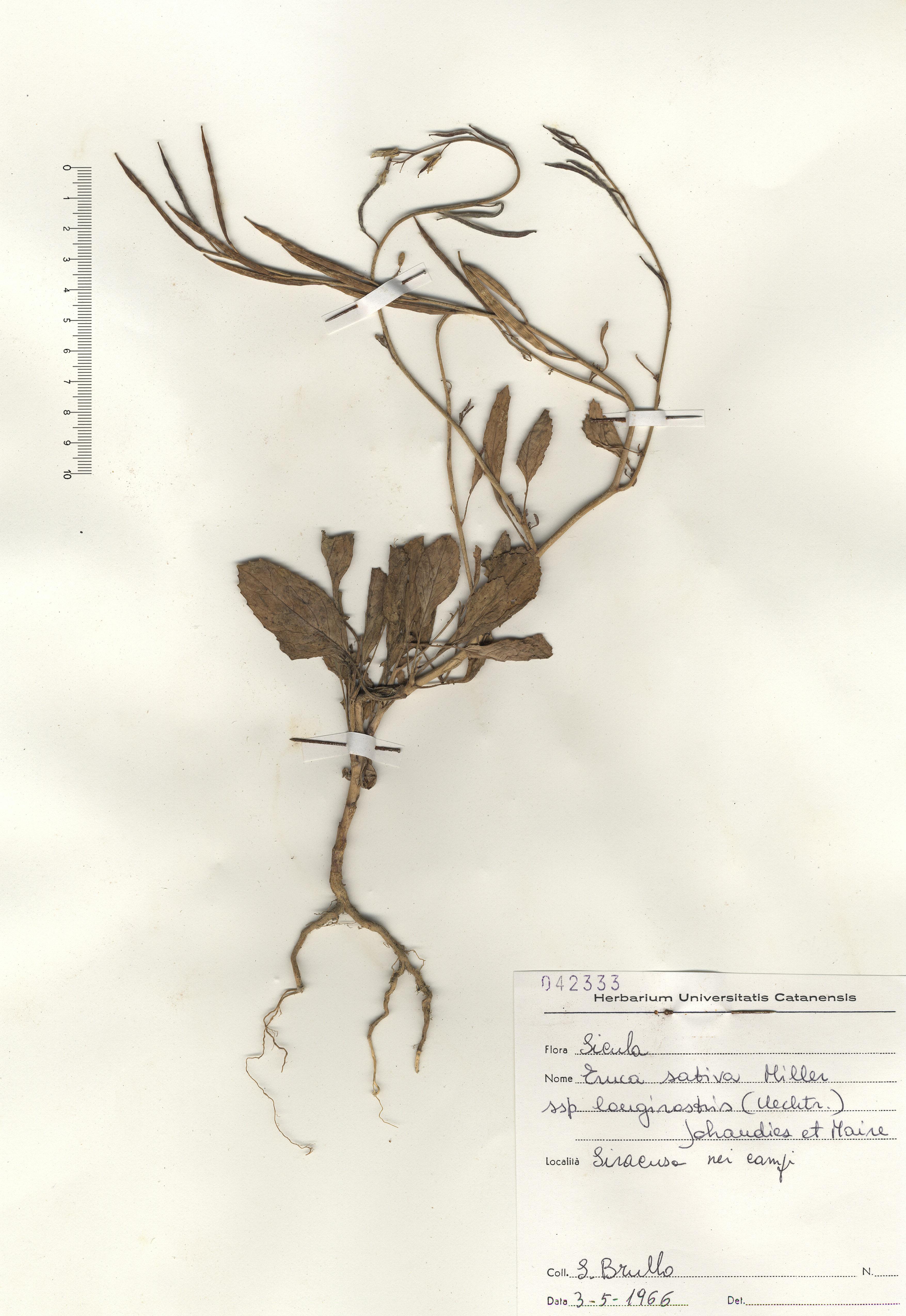 © Hortus Botanicus Catinensis - Herb. sheet 042333<br>